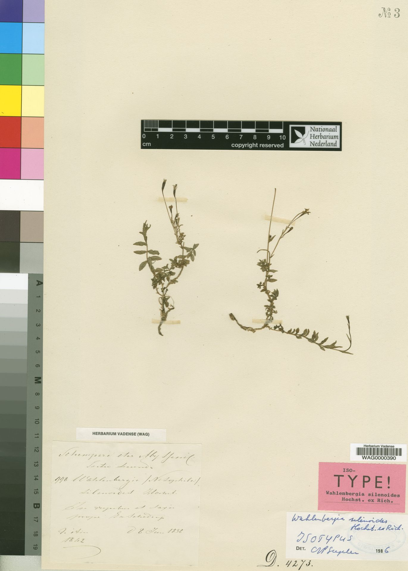 WAG0000390 | Cyperus fissus Steud.