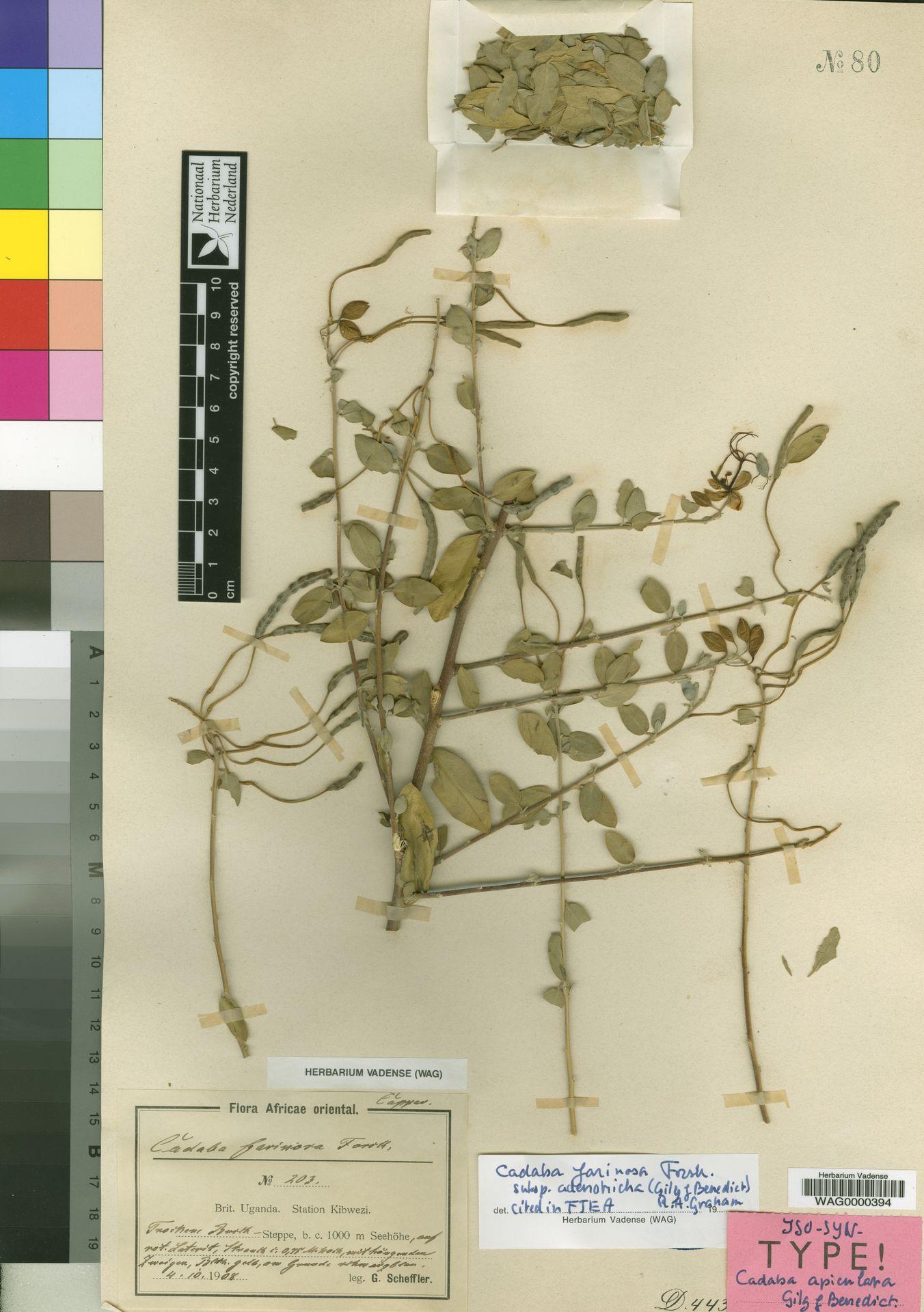 WAG0000394 | Cadaba farinosa subsp. adenotricha (Gilg & Gilg-Ben.) R.A.Graham