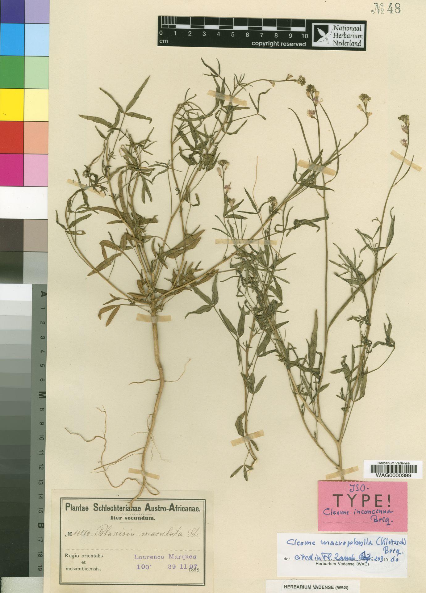 WAG0000399   Cleome maculata (Sond.) Szyszyl.