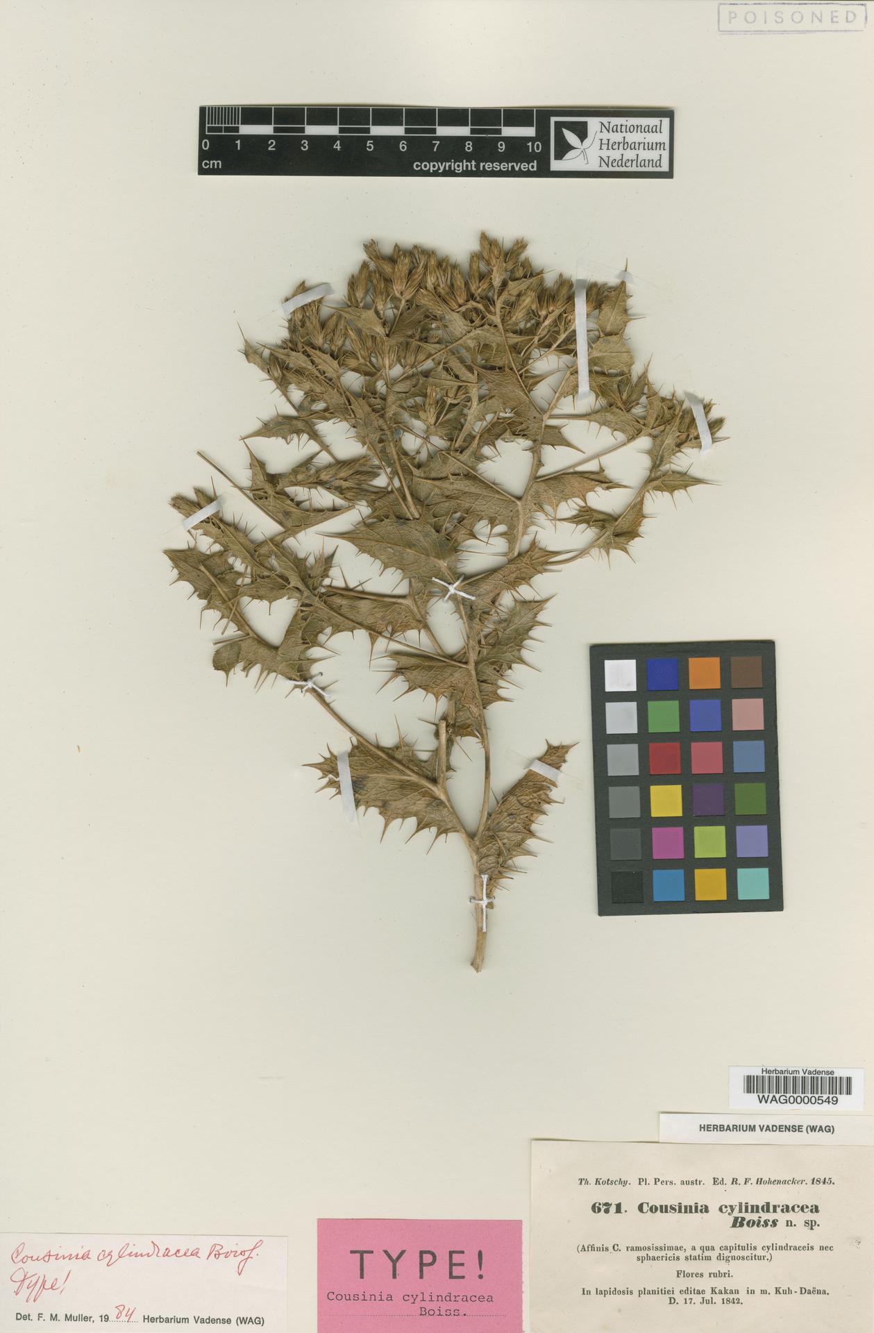 WAG0000549   Cousinia cylindracea Boiss.