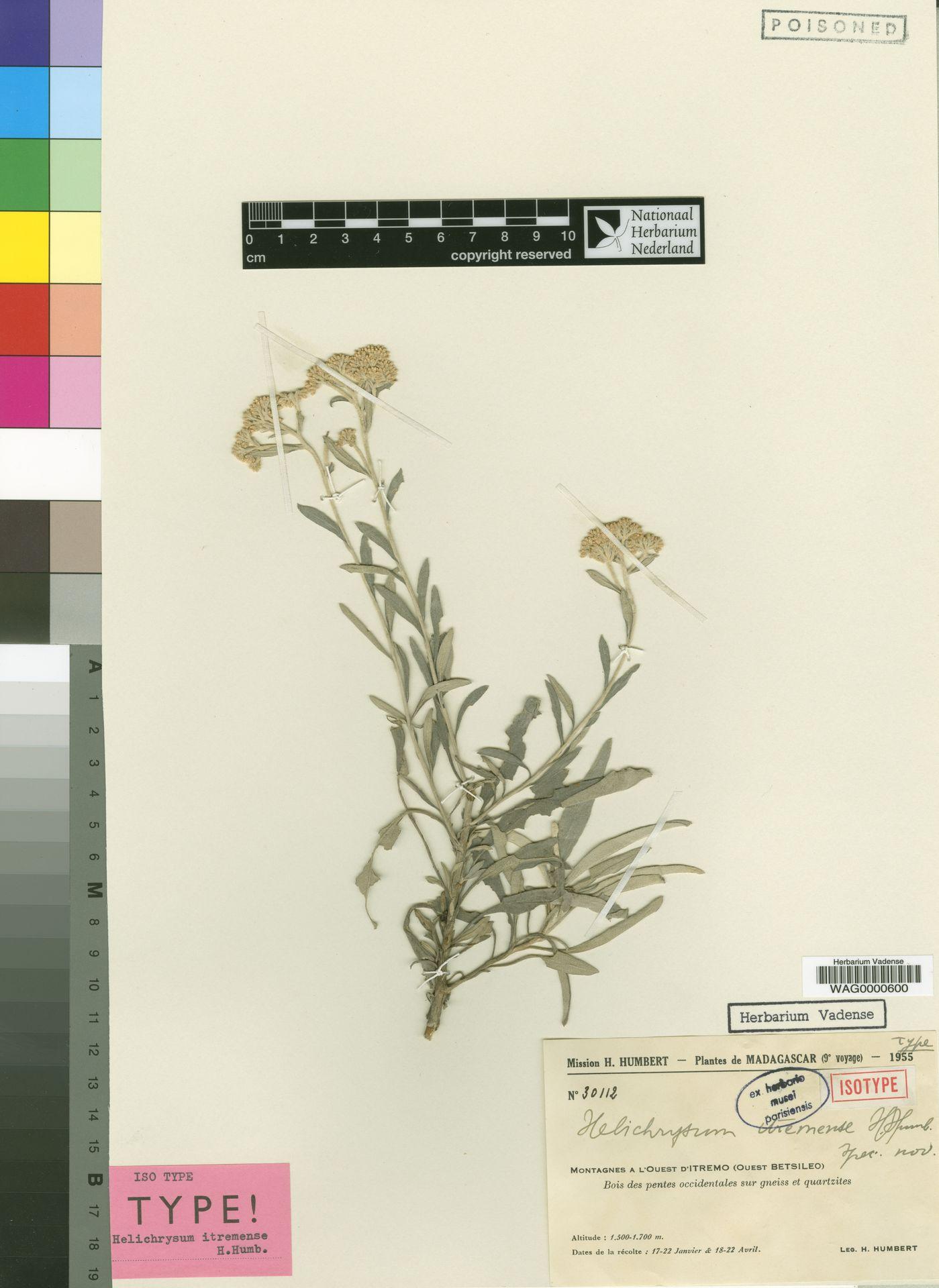 WAG0000600 | Helichrysum itremense Humbert