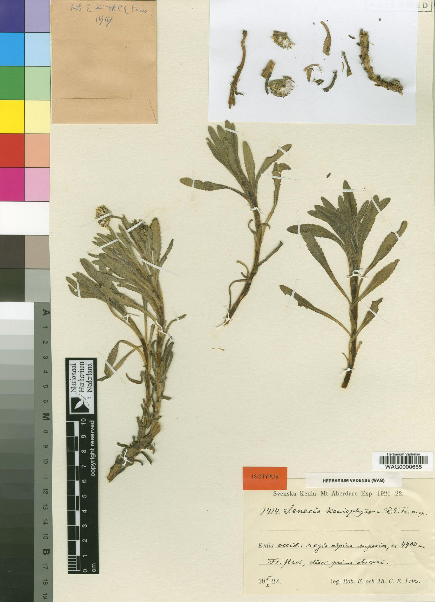 WAG0000655 | Senecio keniophytum R.E.Fr.