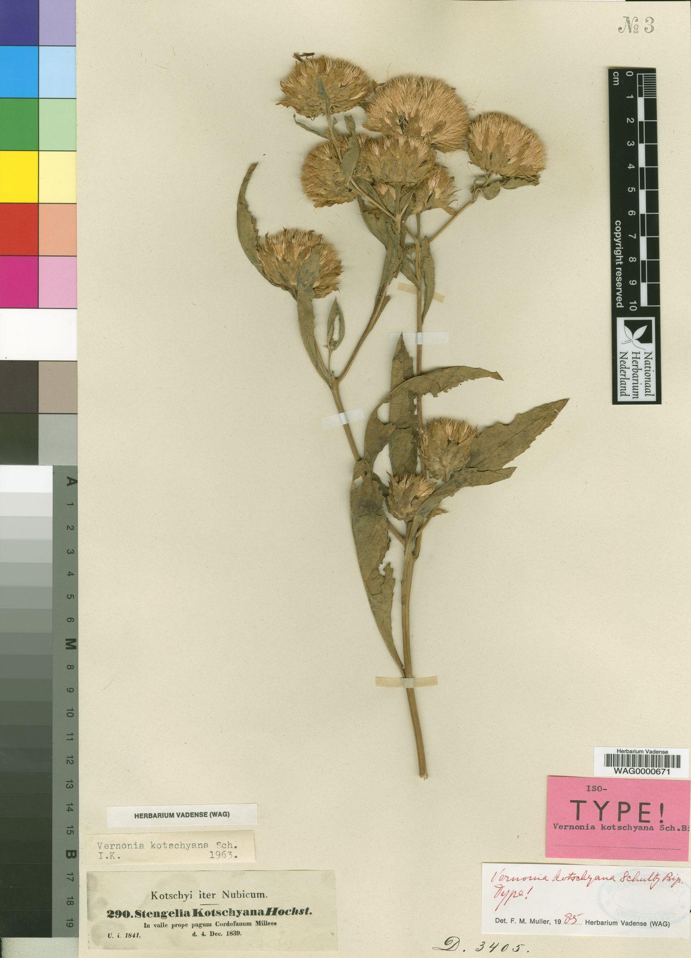 WAG0000671 | Vernonia kotschyana Sch.Bip.