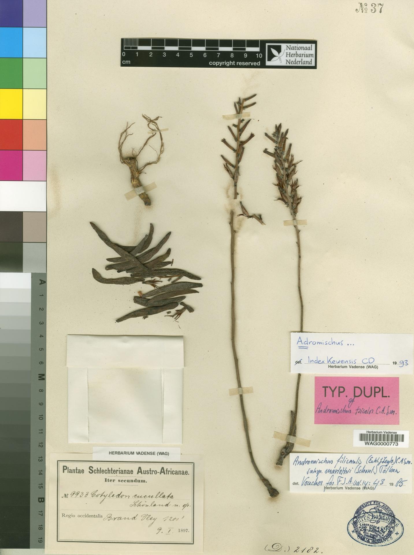 WAG0000773 | Adromischus filicaulis subsp. marlothii (Schönland) Toelken