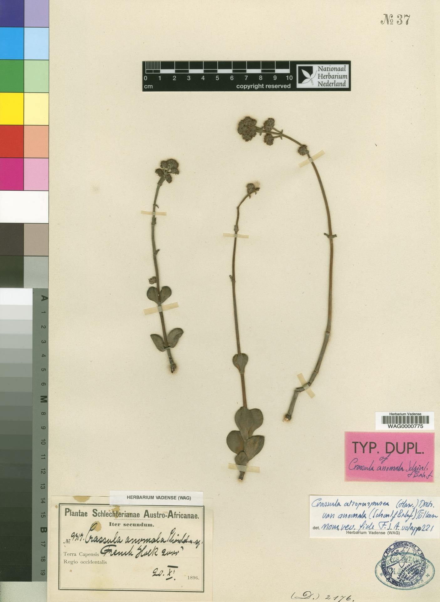 WAG0000775   Crassula atropurpurea var. anomala (Schönland & Baker f.) Toelken