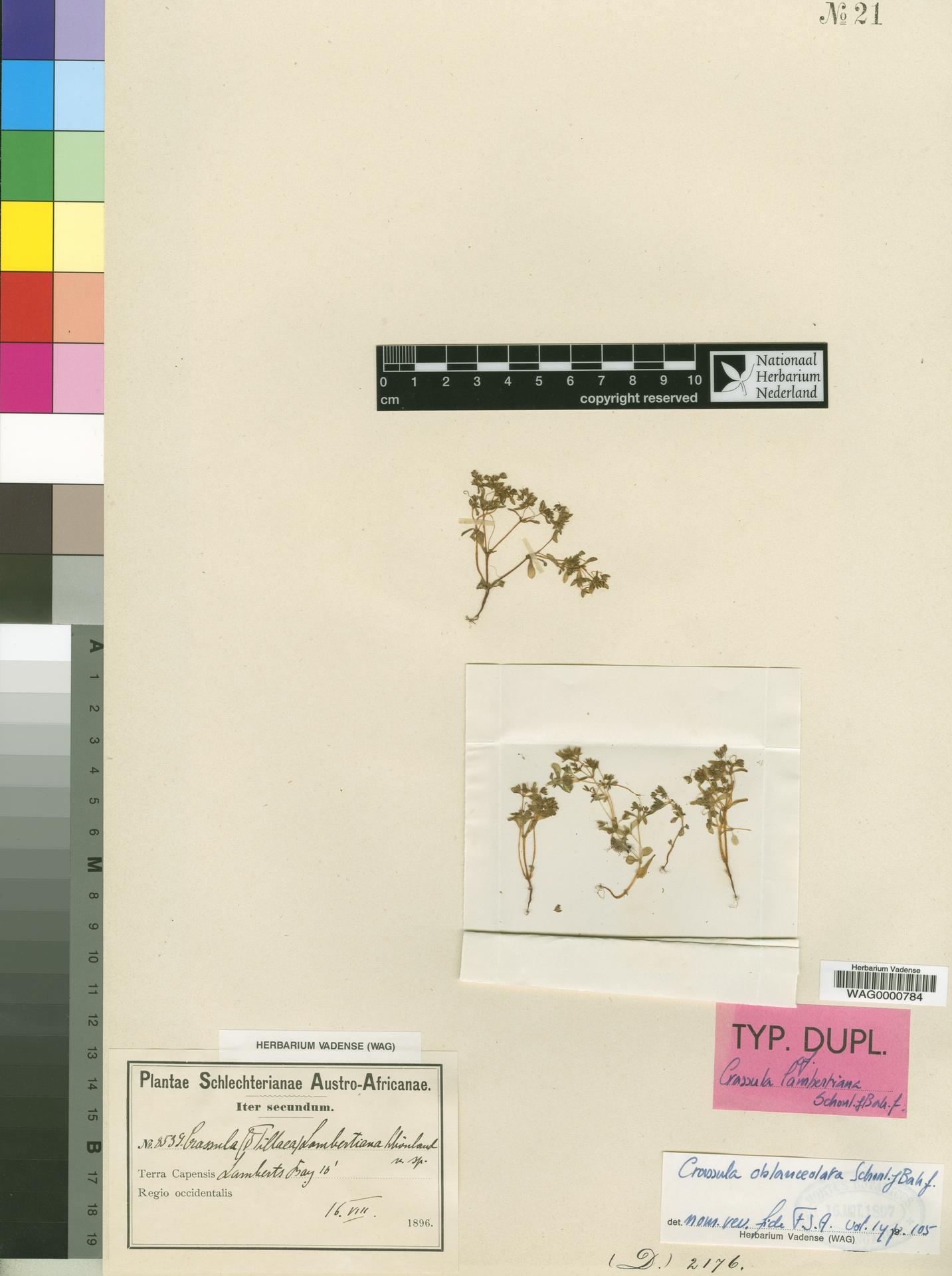 WAG0000784   Crassula oblanceolata Schönland & Baker f.