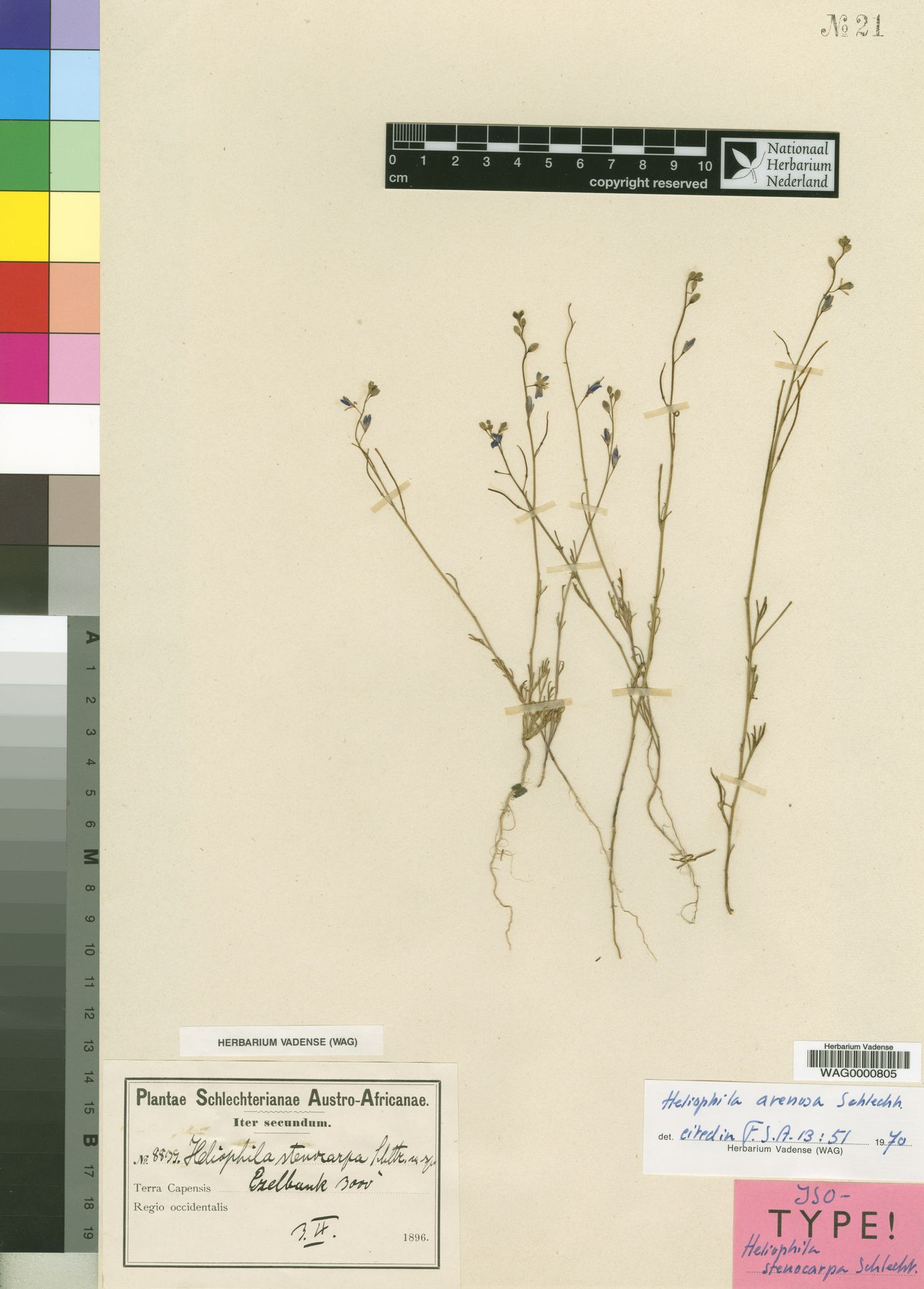 WAG.1751627 | Heliophila stenocarpa Schltr.