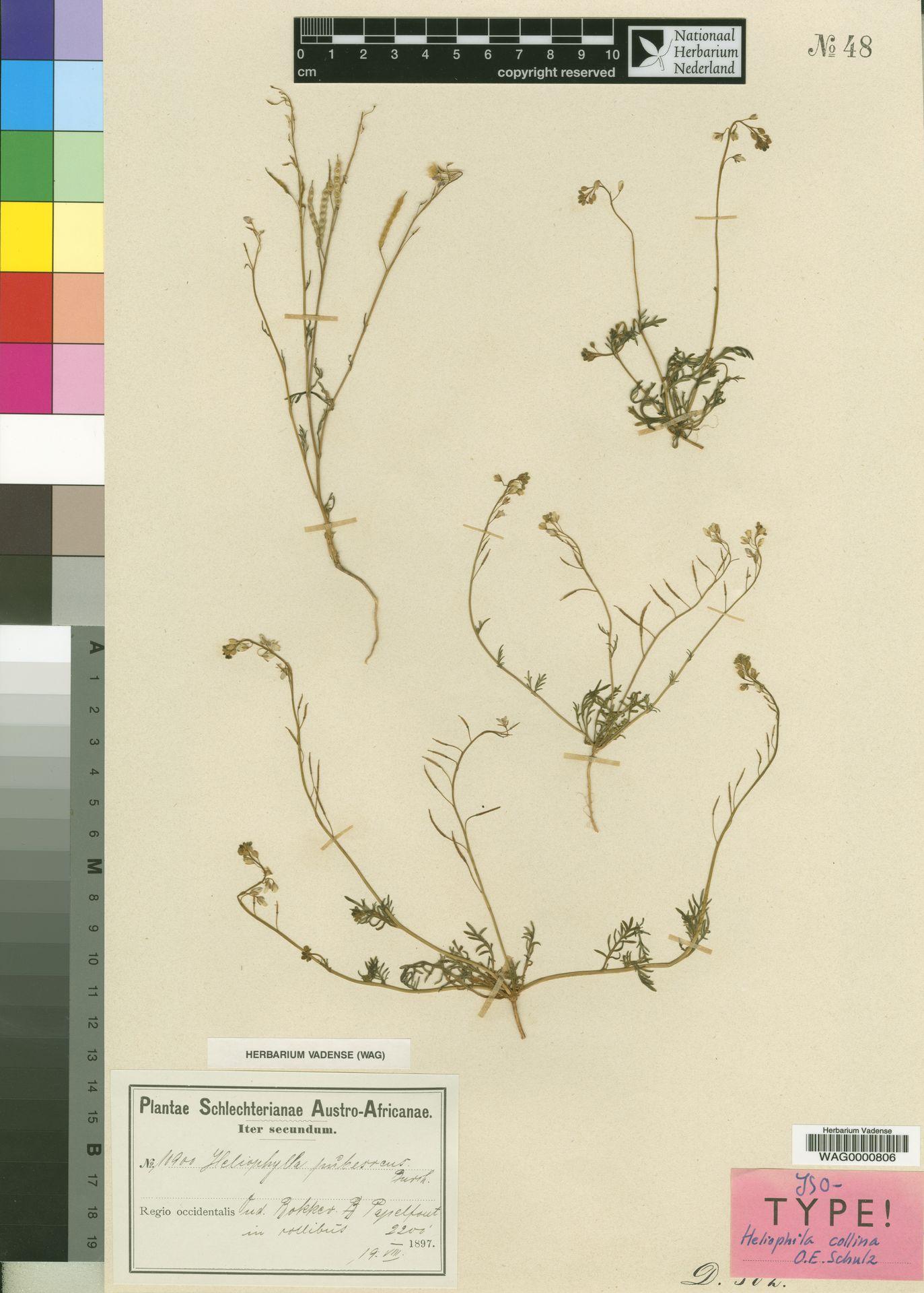WAG.1751635 | Heliophila collina O.E.Schulz