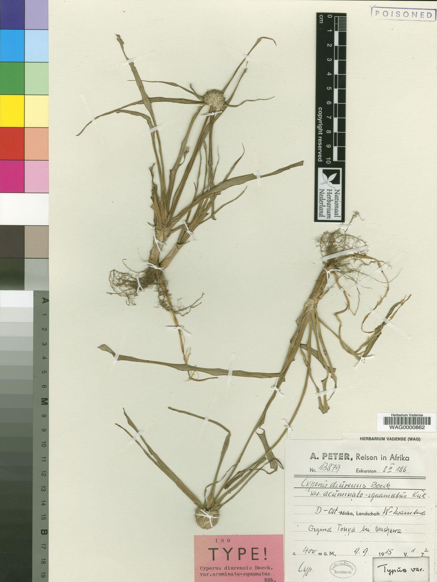 WAG.1770417 | Cyperus diurensis var. acuminato-squamatus Kük.