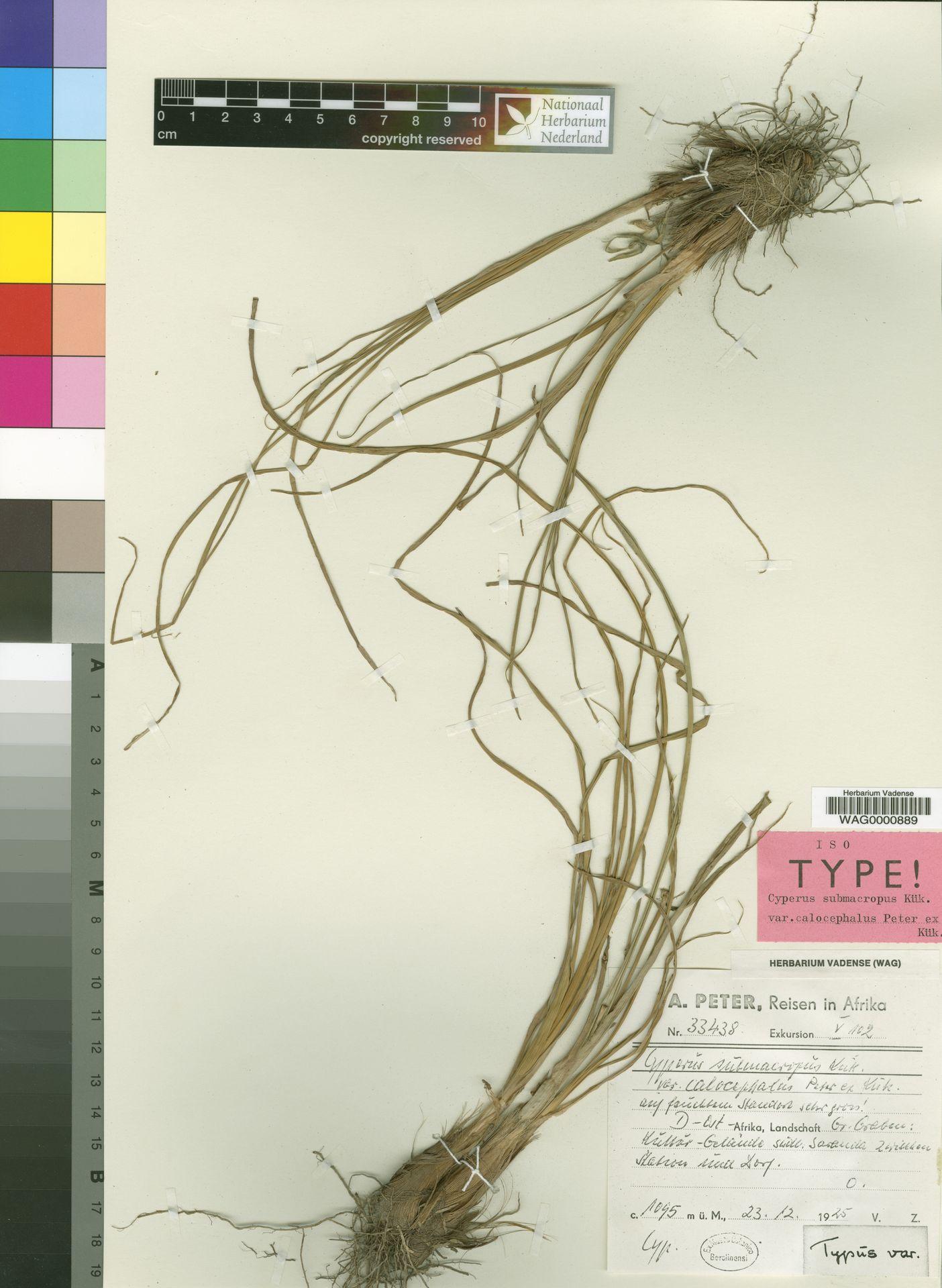 WAG.1765675 | Cyperus submacropus var. calocephalus Peter ex Kük.