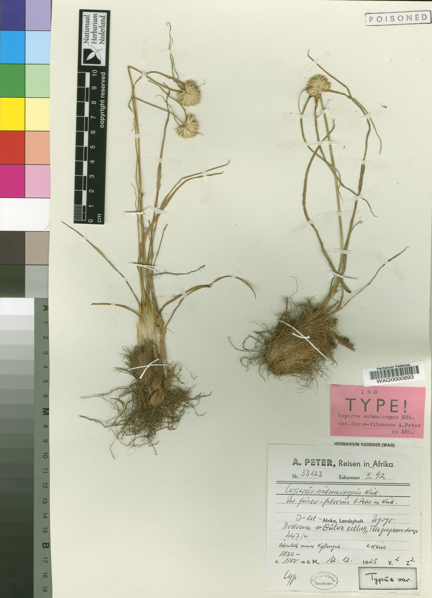 WAG.1765679 | Cyperus submacropus var. fusco-fibrosus Peter ex Kük.