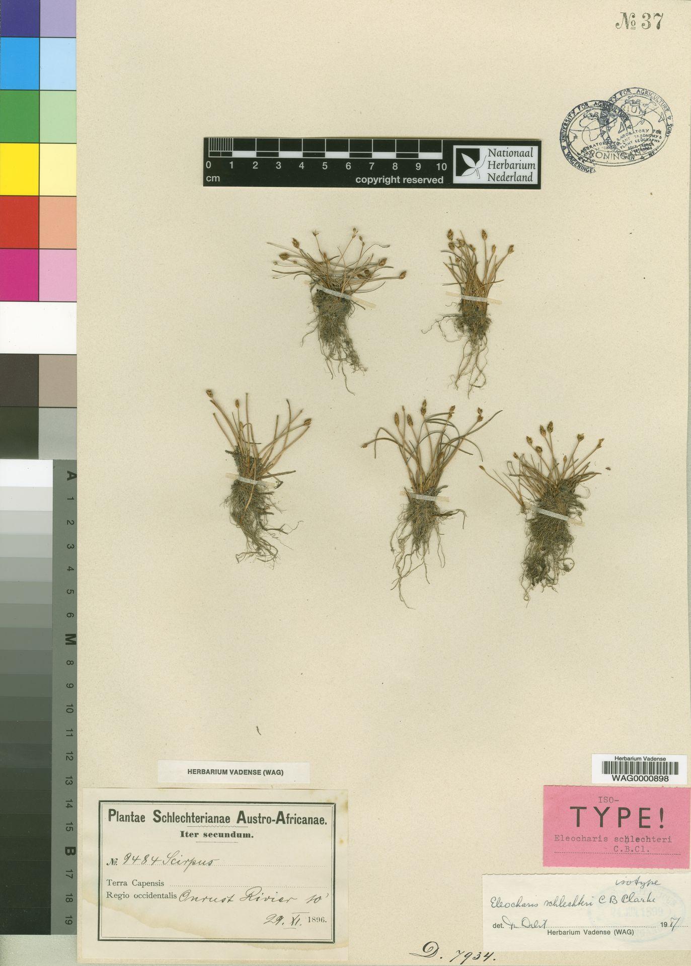 WAG.1761799   Eleocharis schlechteri C.B.Clarke