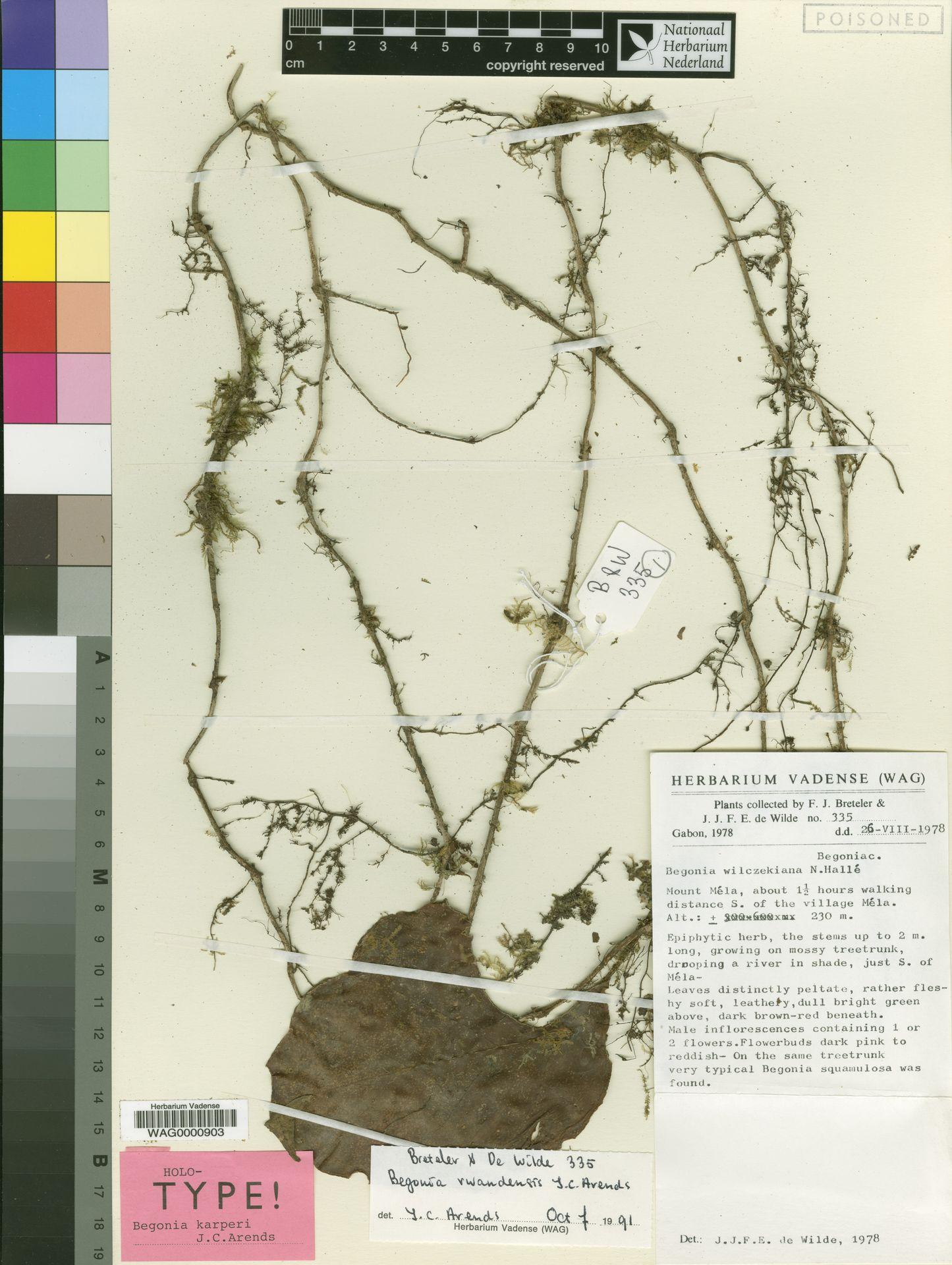 WAG0000903 | Begonia karperi J.C.Arends