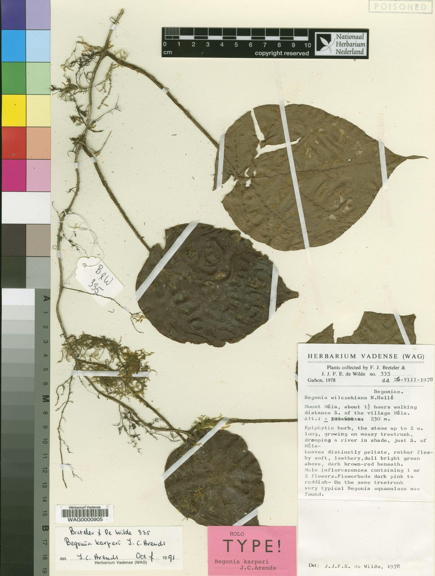 WAG0000905 | Begonia karperi J.C.Arends