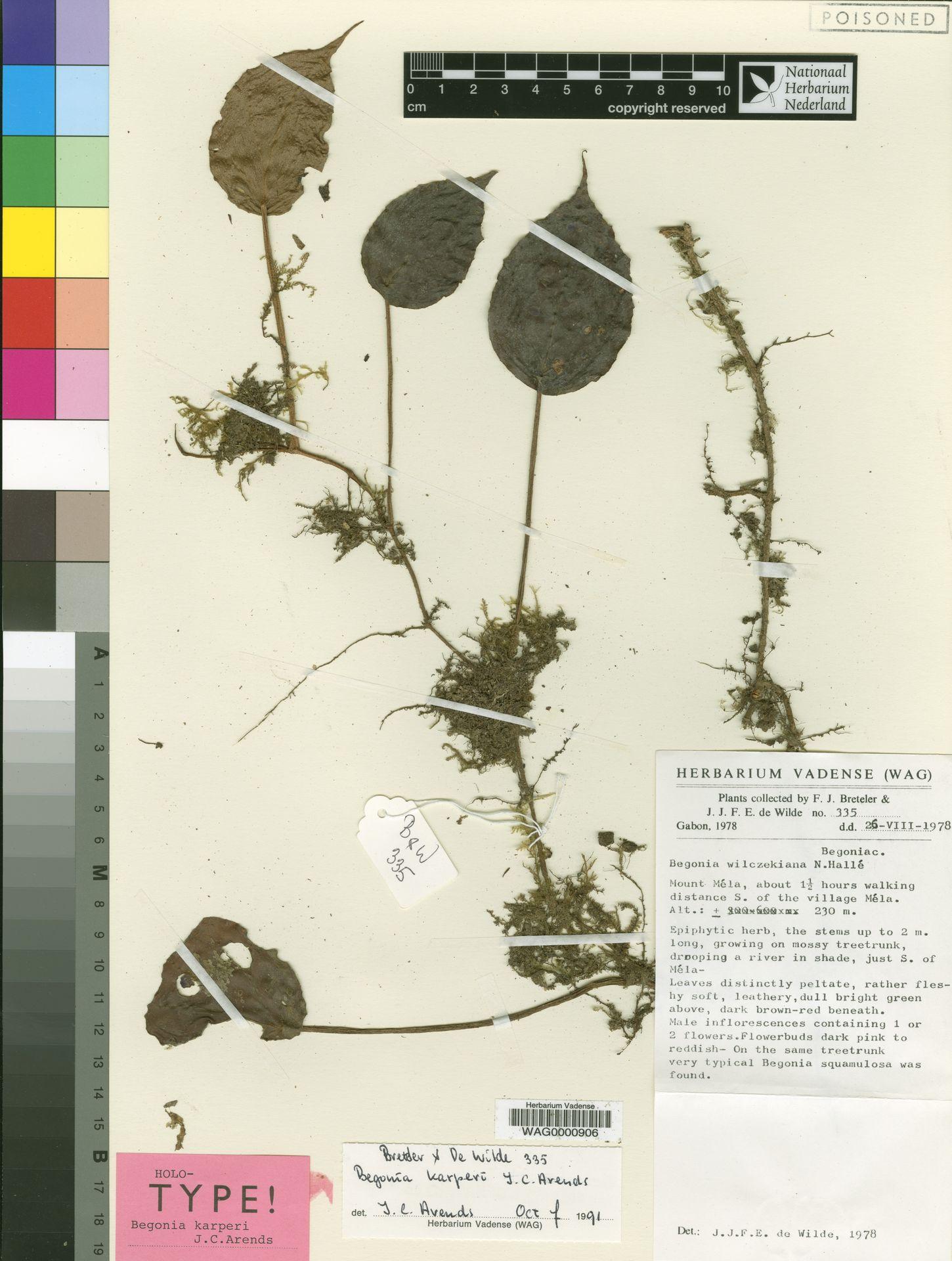 WAG0000906 | Begonia karperi J.C.Arends