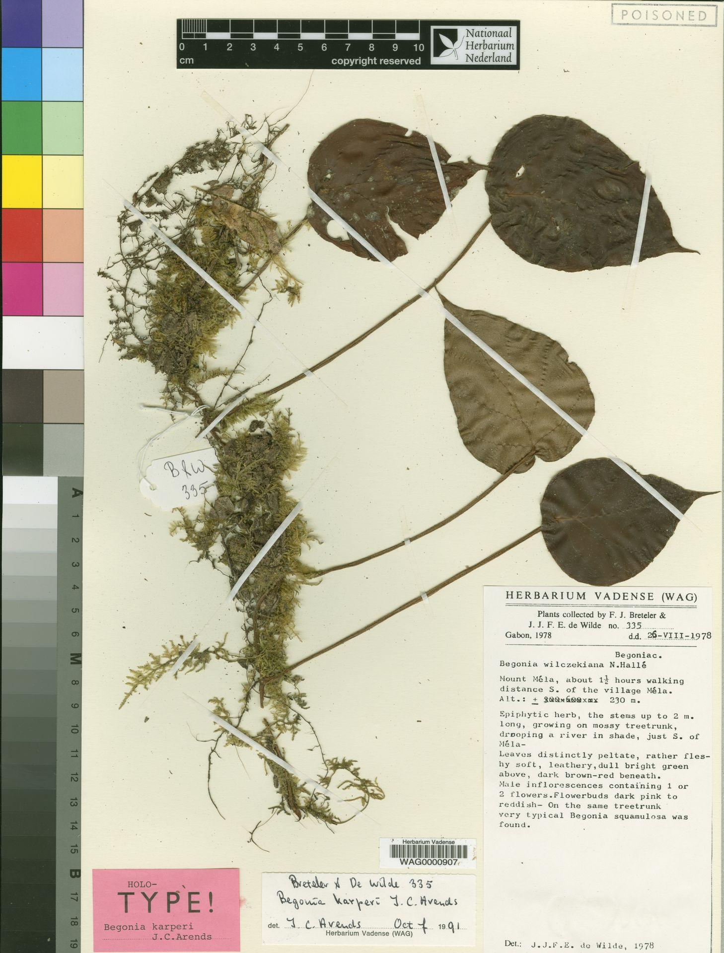 WAG0000907 | Begonia karperi J.C.Arends