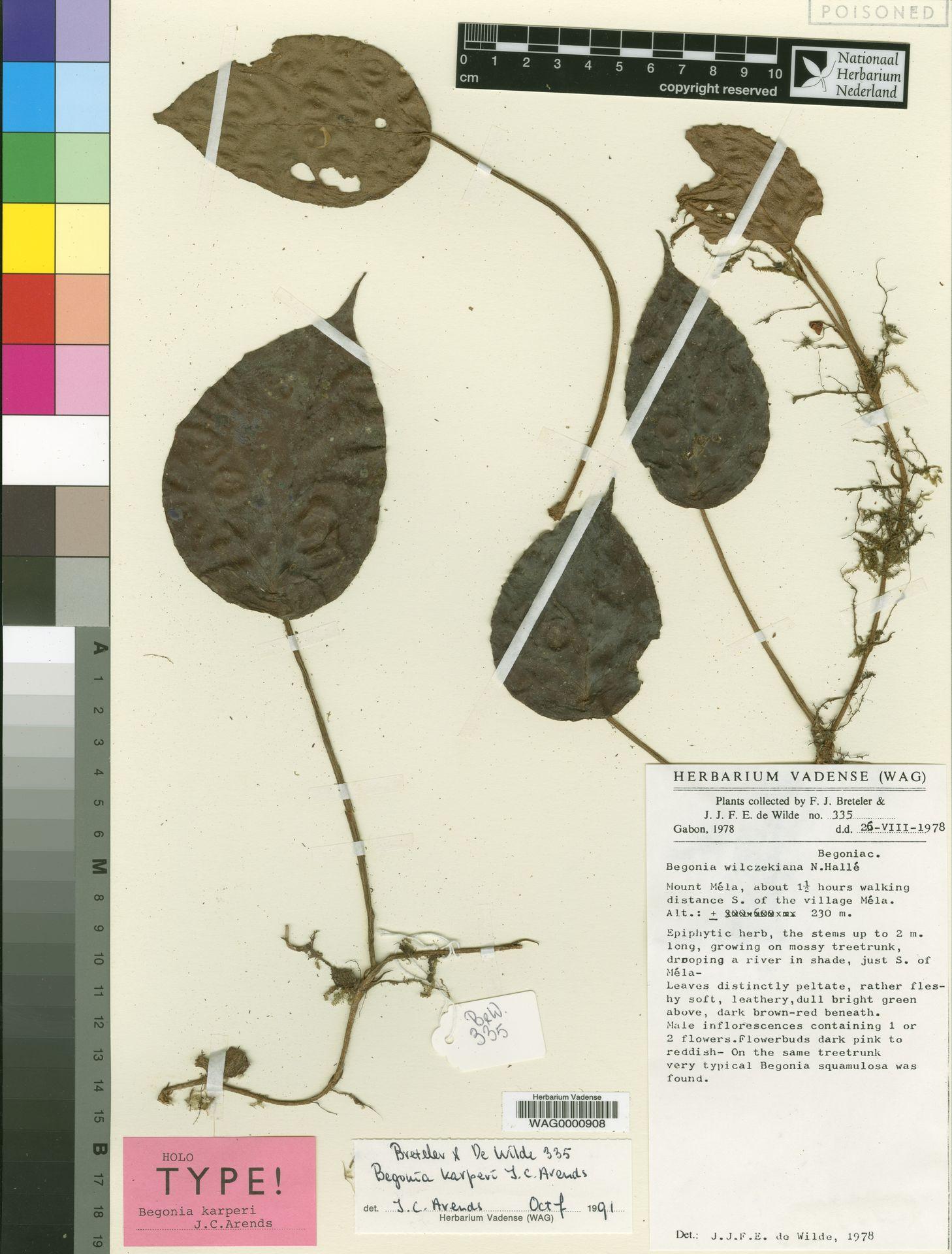 WAG0000908 | Begonia karperi J.C.Arends