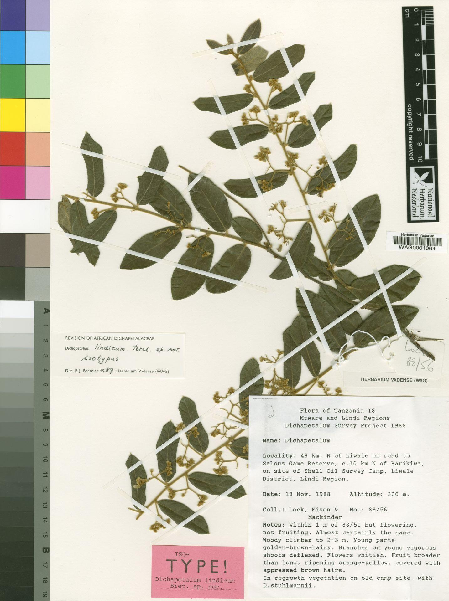 WAG0001064 | Dichapetalum lindicum Breteler