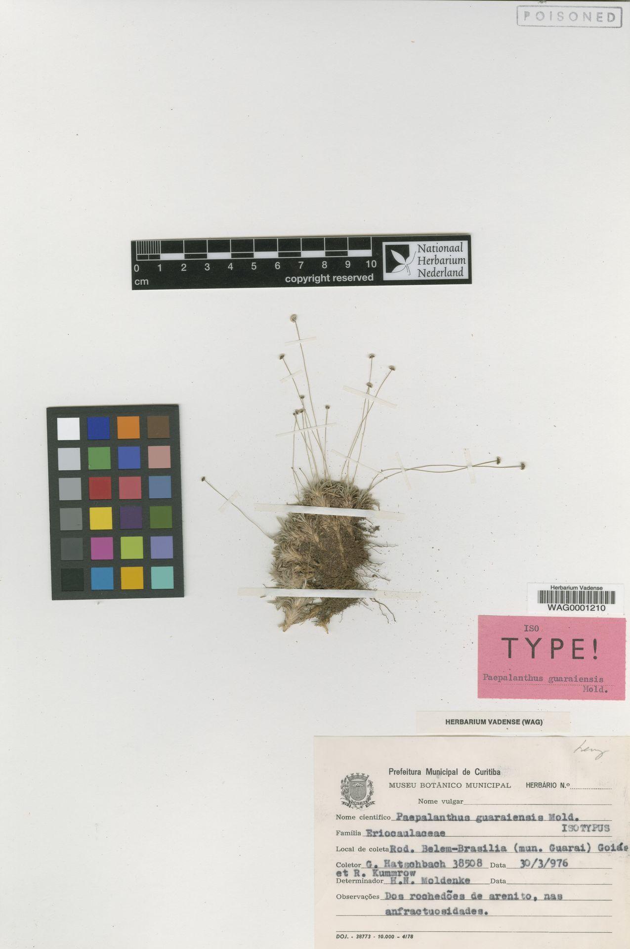WAG0001210 | Paepalanthus guaraiensis Moldenke