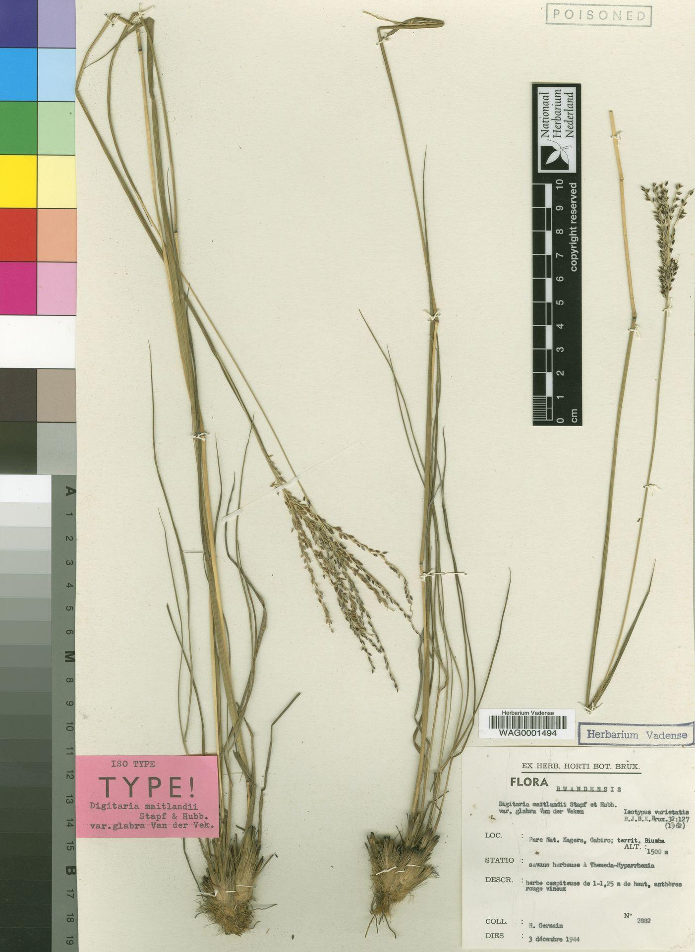 WAG.1822859 | Digitaria maitlandii Stapf & C.E.Hubb.