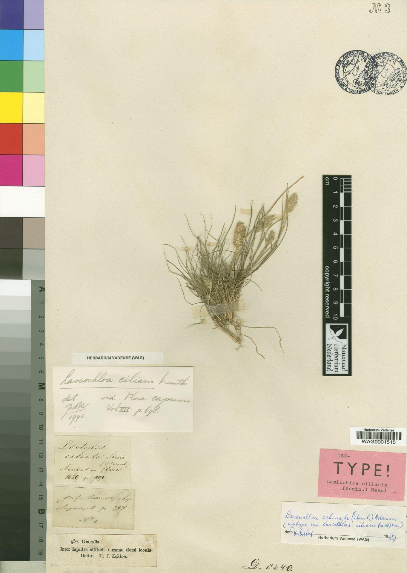 WAG0001515 | Lasiochloa echinata (Thunb.) Adamson