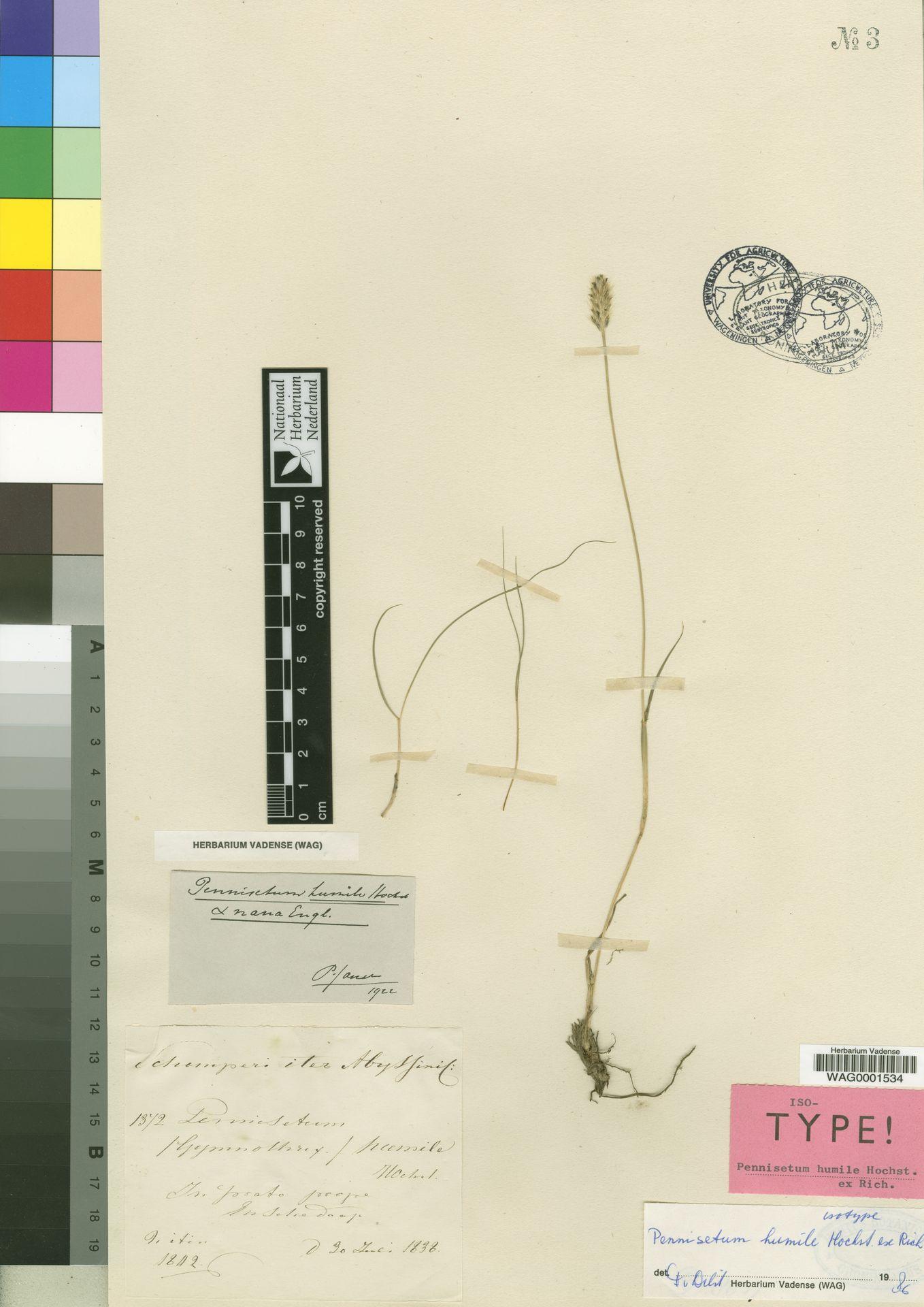 WAG0001534 | Pennisetum humile Hochst. ex A.Rich.