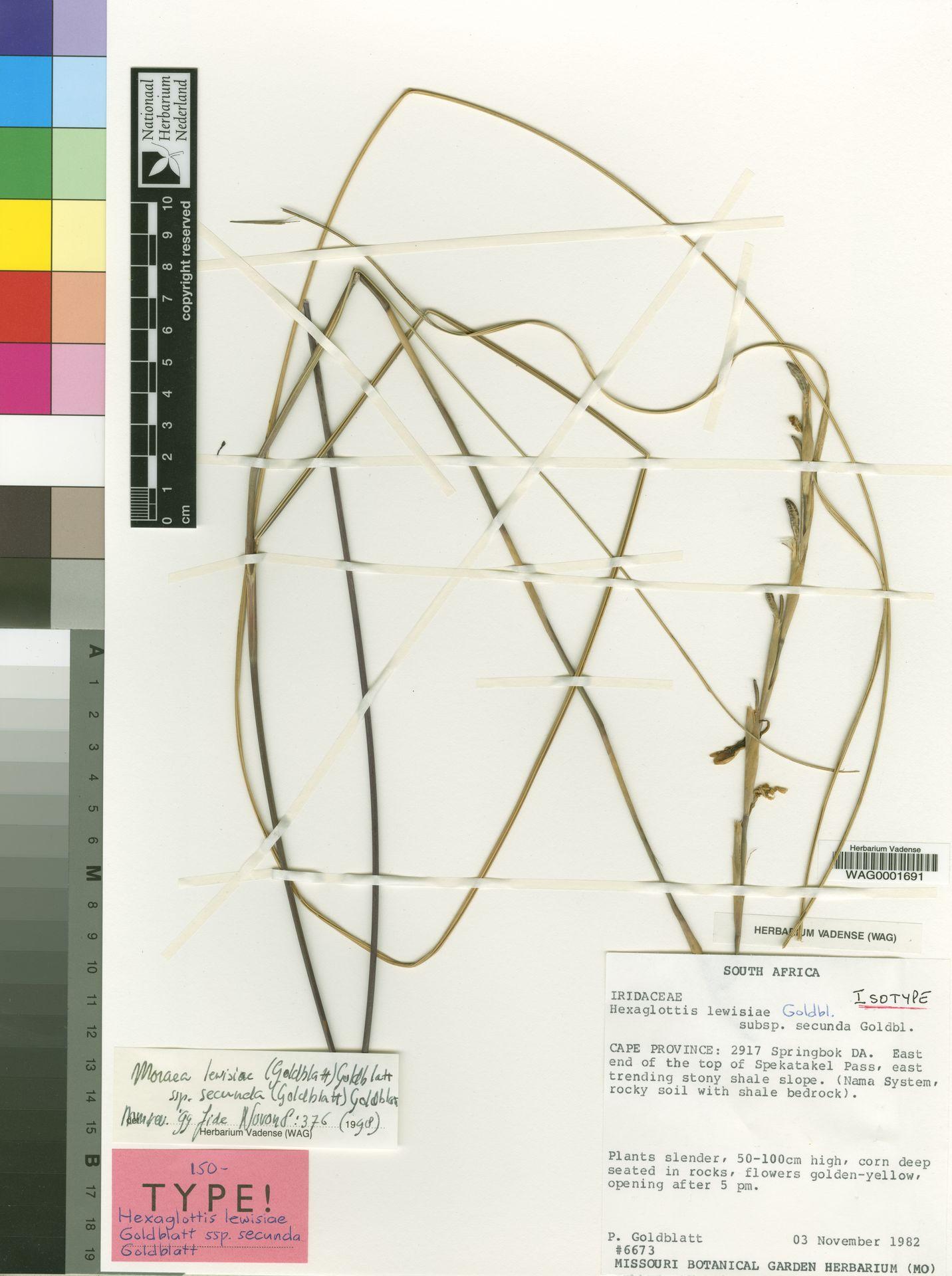 WAG0001691 | Moraea lewisiae subsp. secunda (Goldblatt) Goldblatt