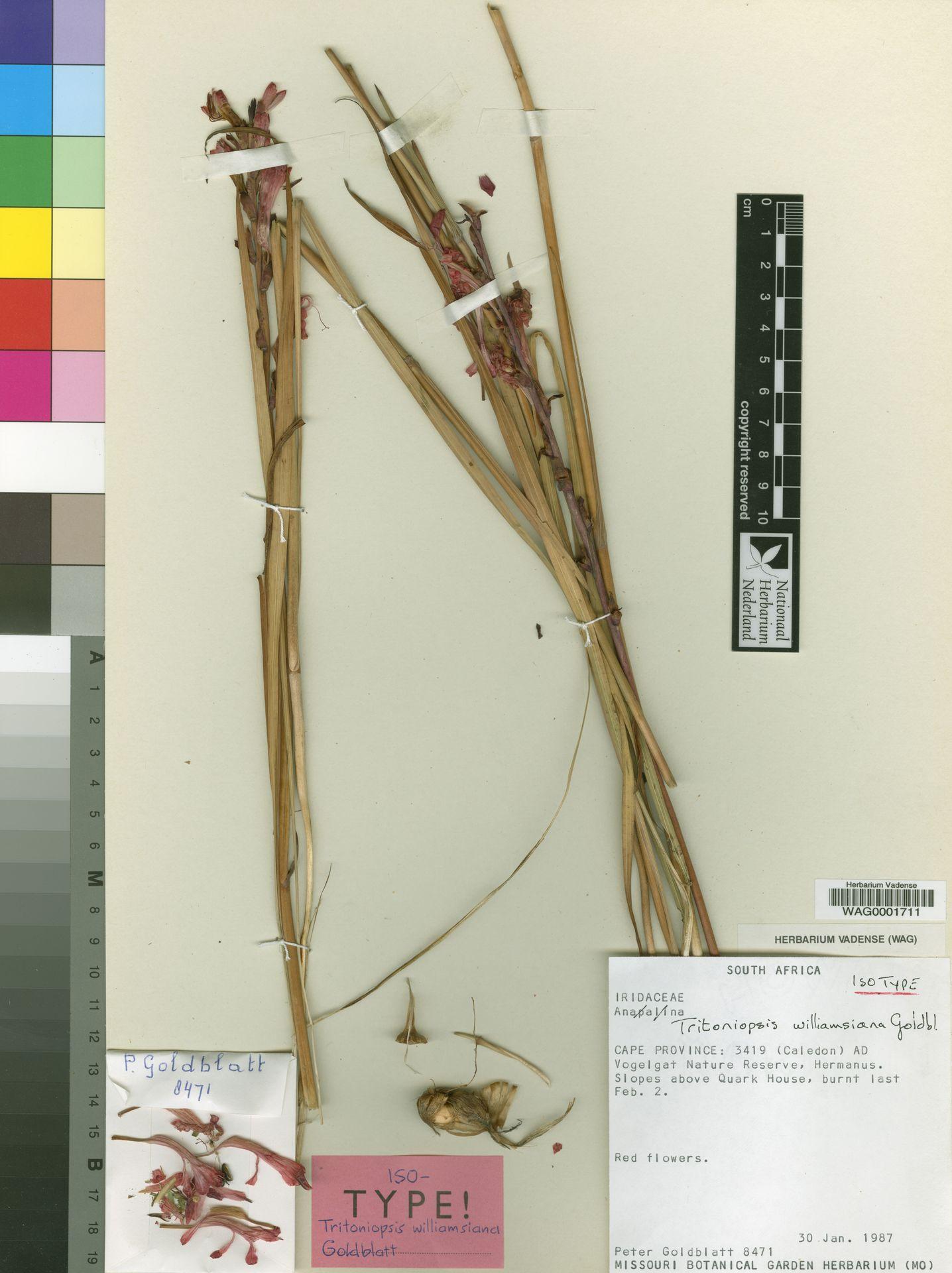 WAG0001711 | Tritoniopsis williamsiana Goldblatt