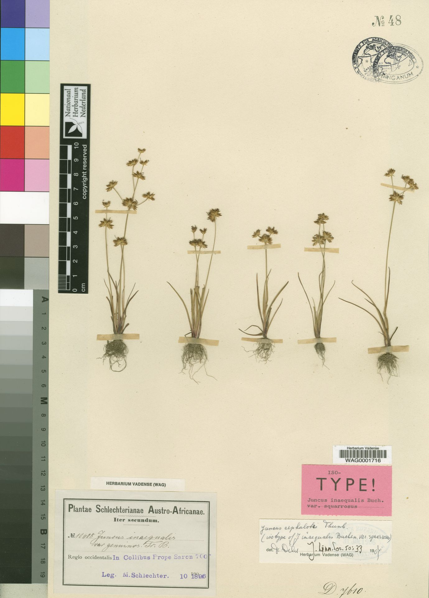 WAG0001716 | Juncus cephalotes Thunb.