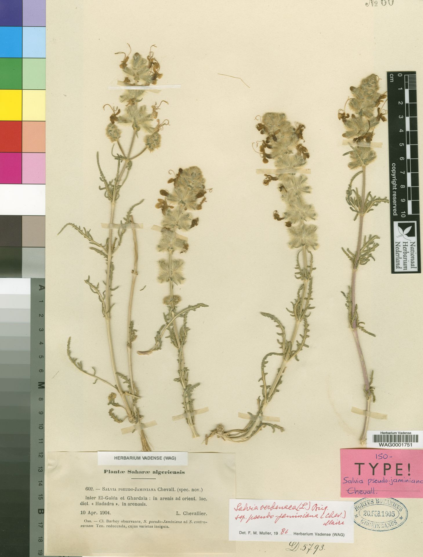 WAG0001751 | Salvia verbenaca subsp. pseudojaminiana (L.Chevall.) Maire