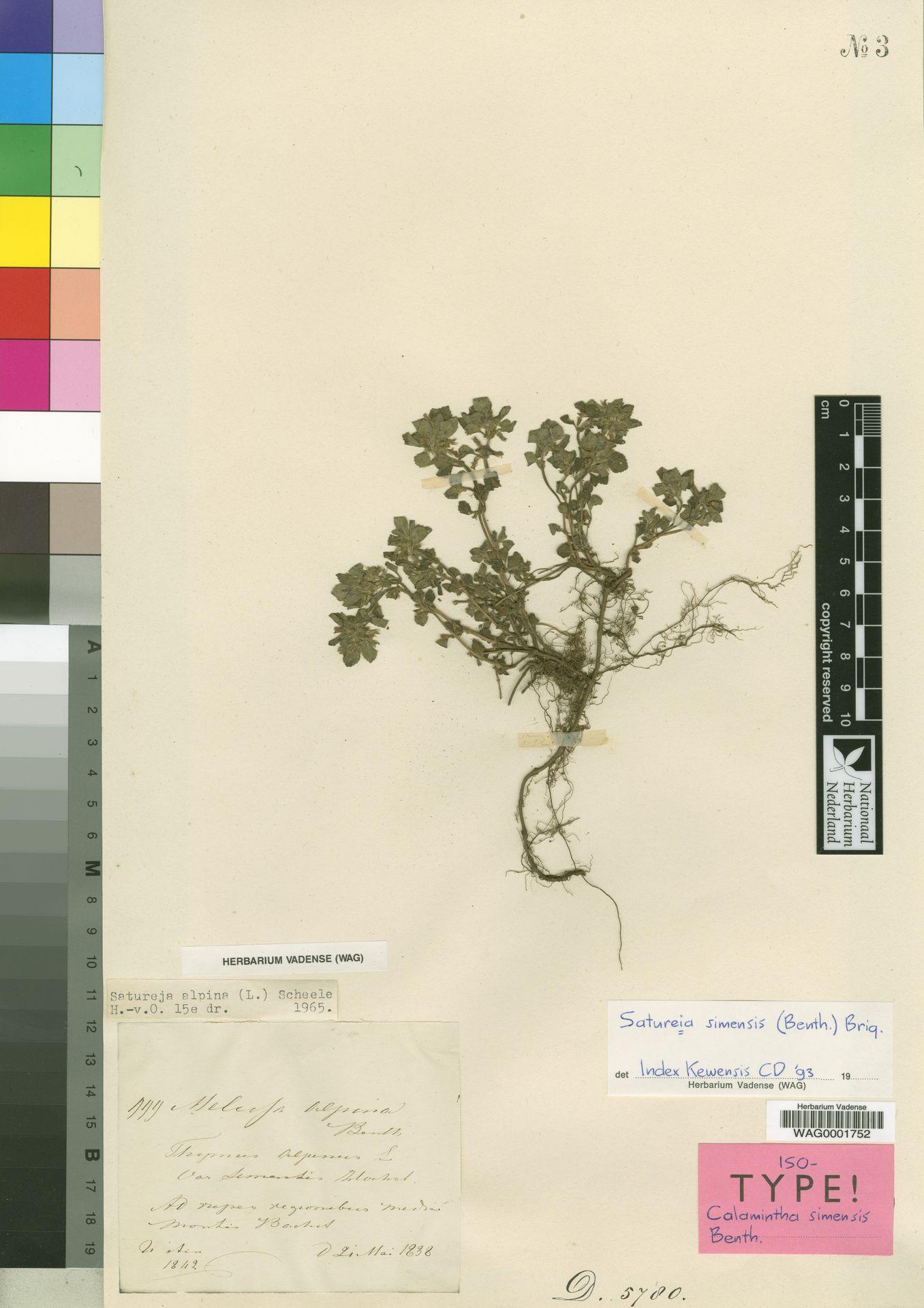 WAG0001752 | Satureja simensis (Benth.) Briq.