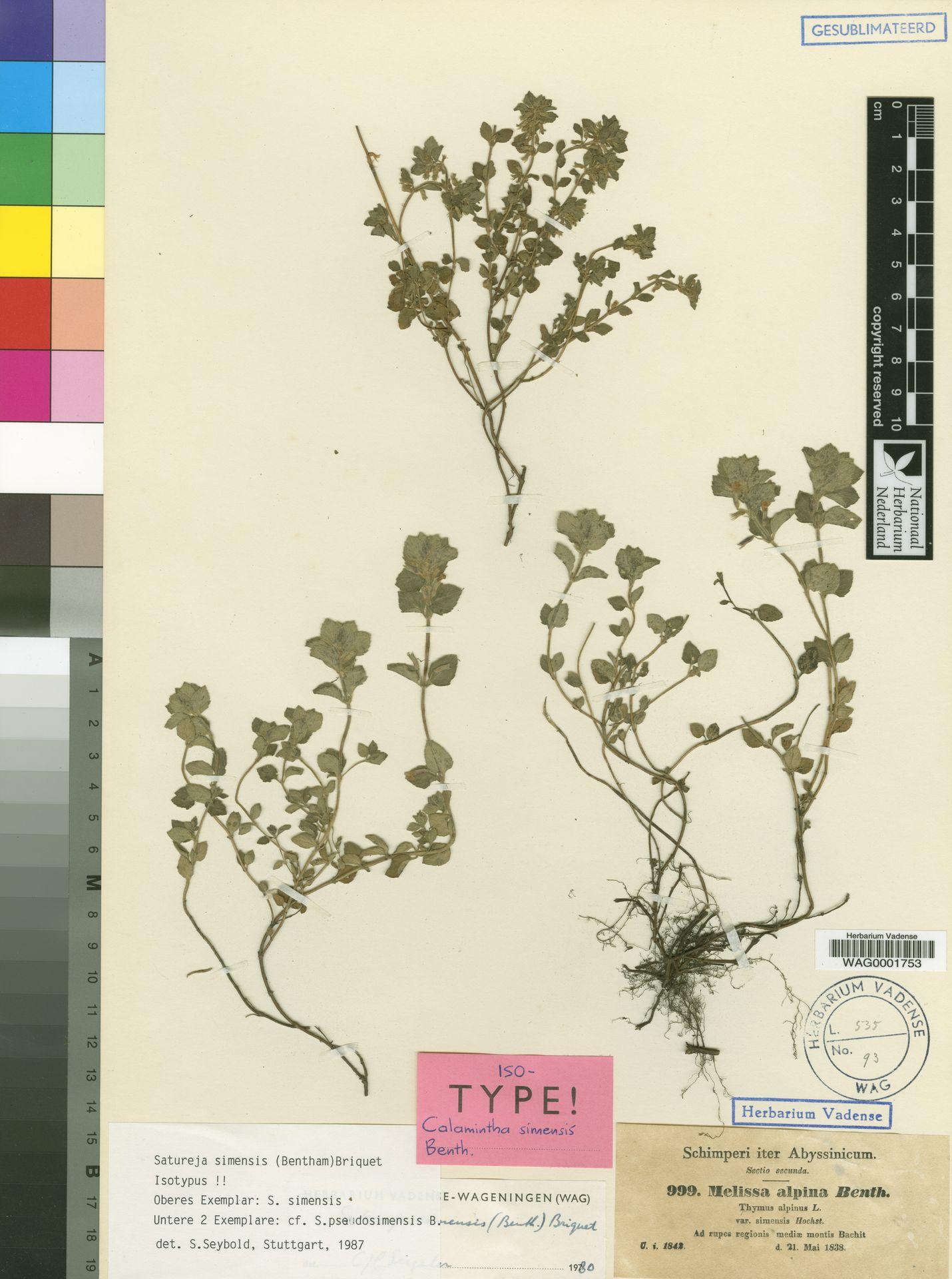 WAG0001753 | Satureja simensis (Benth.) Briq.