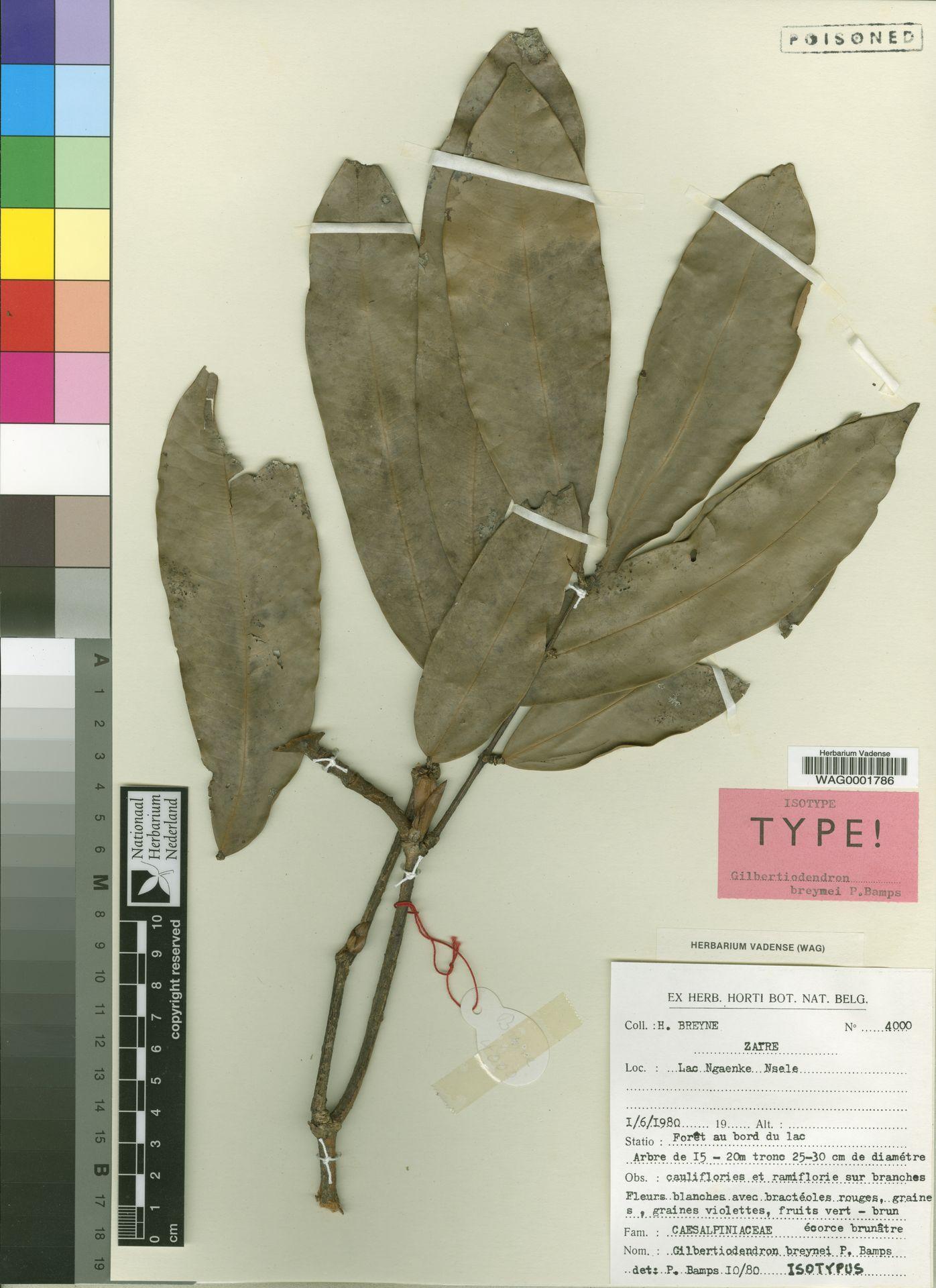 WAG0001786   Gilbertiodendron breynei Bamps