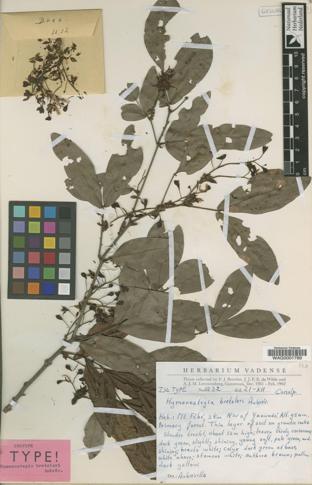 WAG0001789 | Talbotiella breteleri (Aubrév.) Mackinder & Wieringa