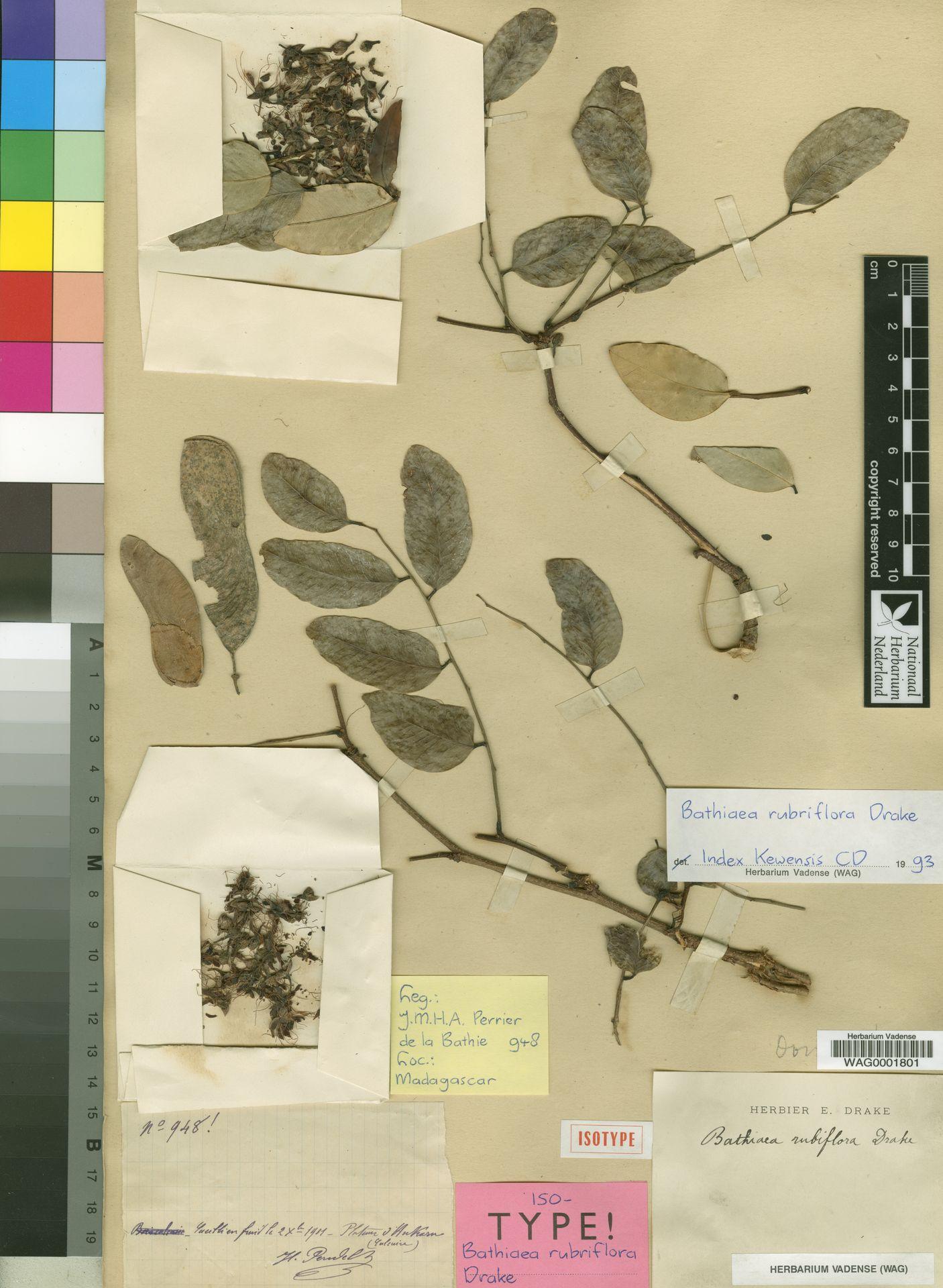 WAG0001801 | Bathiaea rubriflora Drake