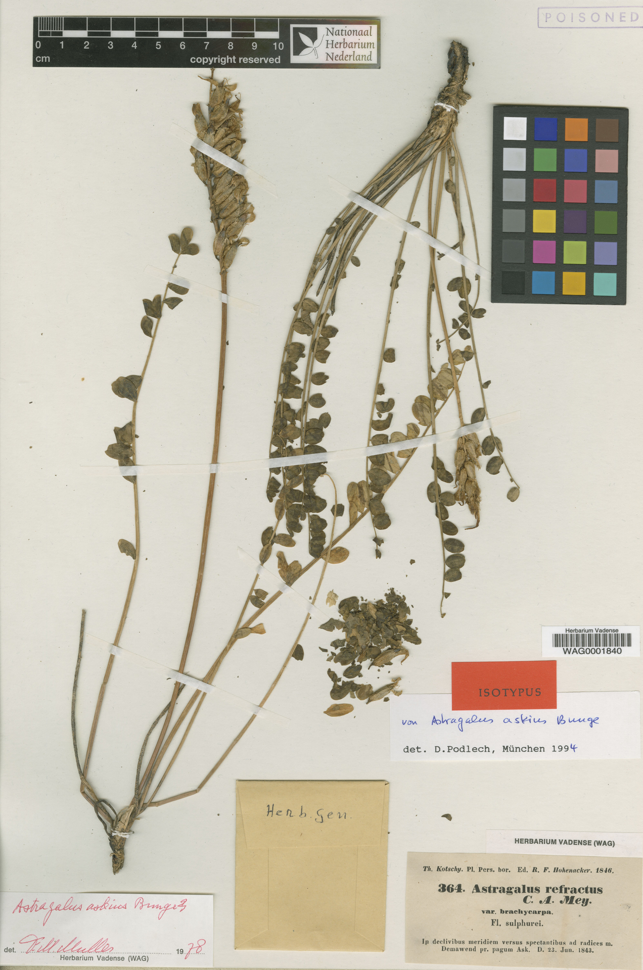 WAG0001840 | Astragalus askius Bunge