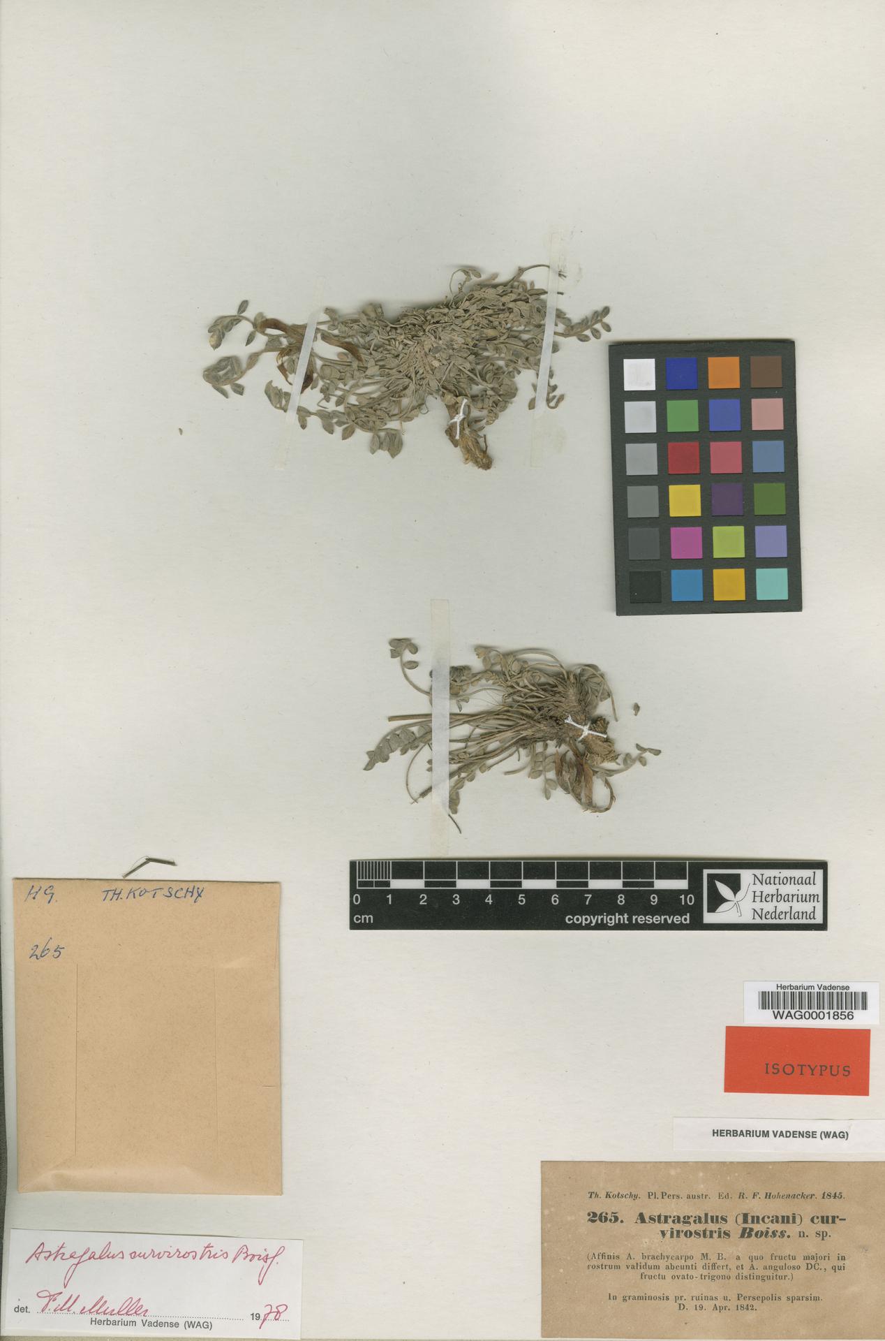 WAG0001856 | Astragalus curvirostris Boiss.
