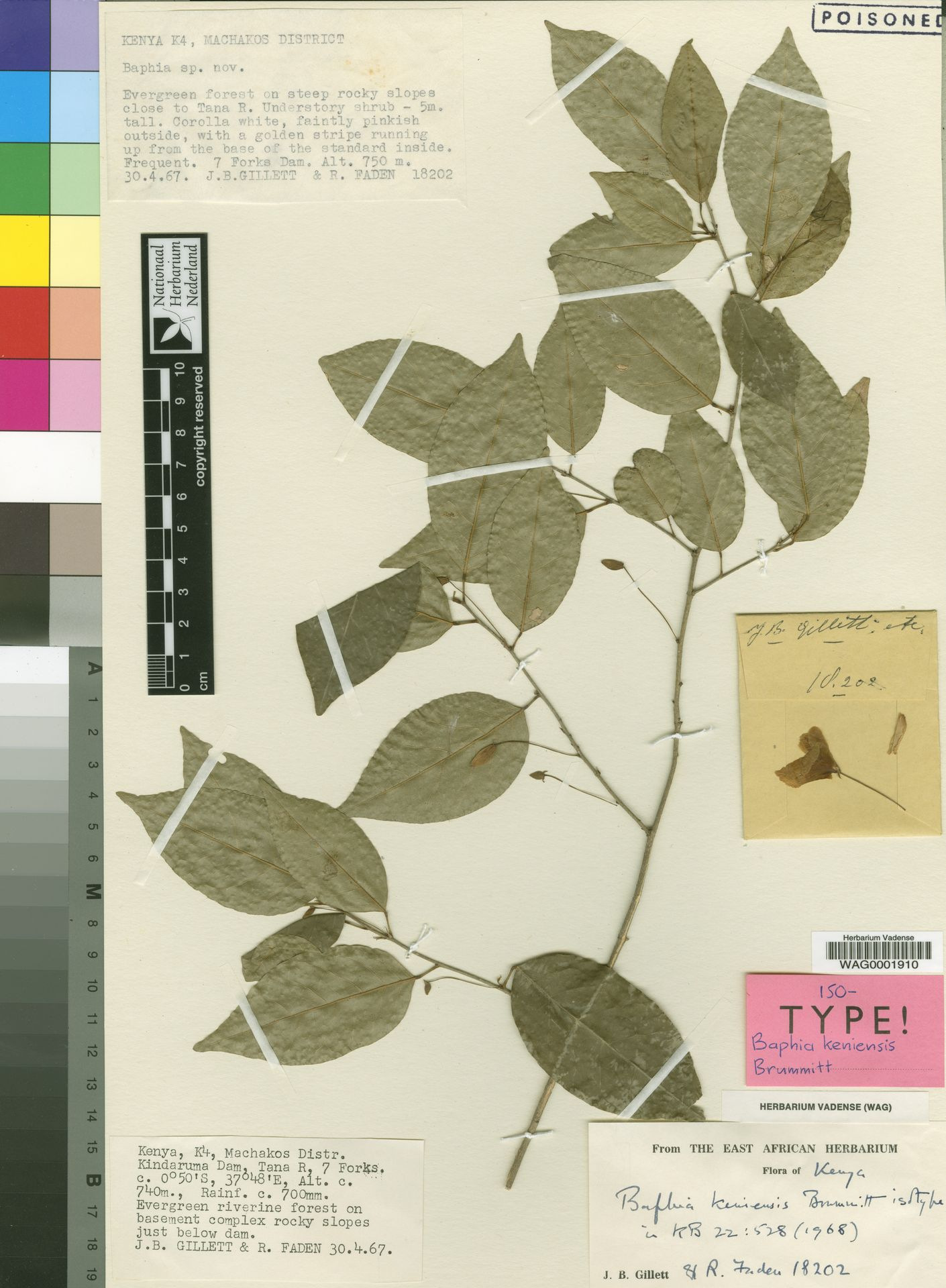 WAG0001910 | Baphia keniensis Brummitt