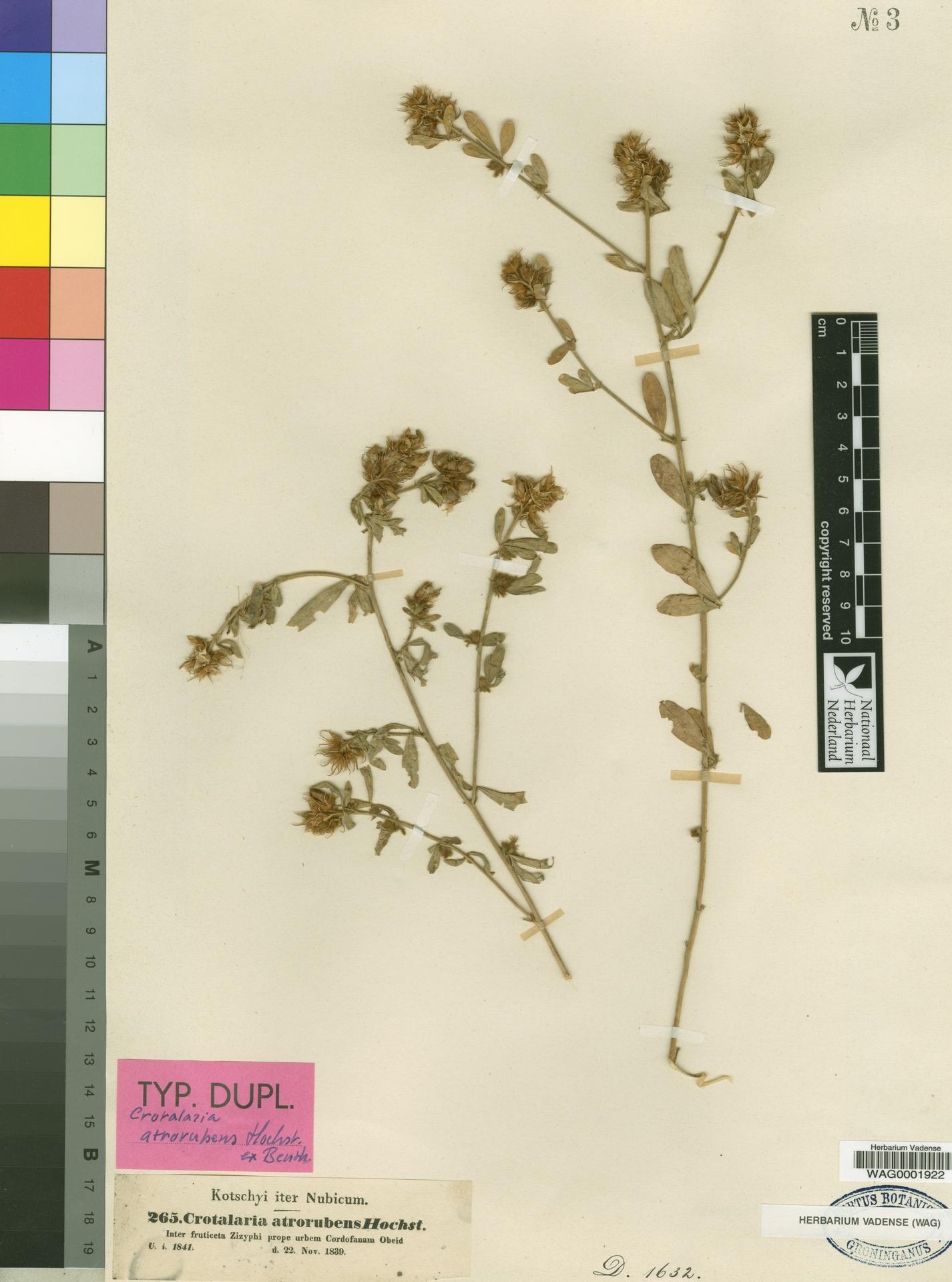 WAG0001922 | Crotalaria atrorubens Hochst. ex Benth.
