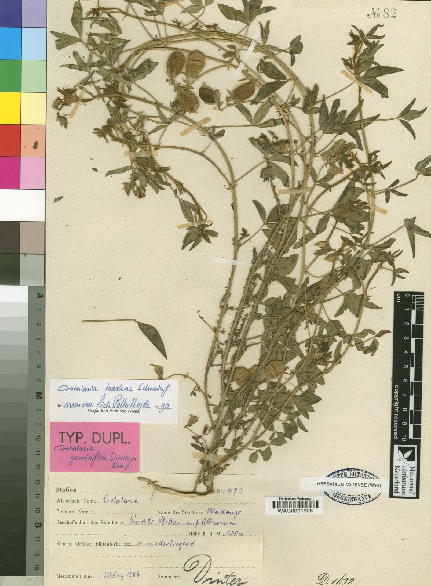 WAG0001926 | Crotalaria barkae Schweinf.