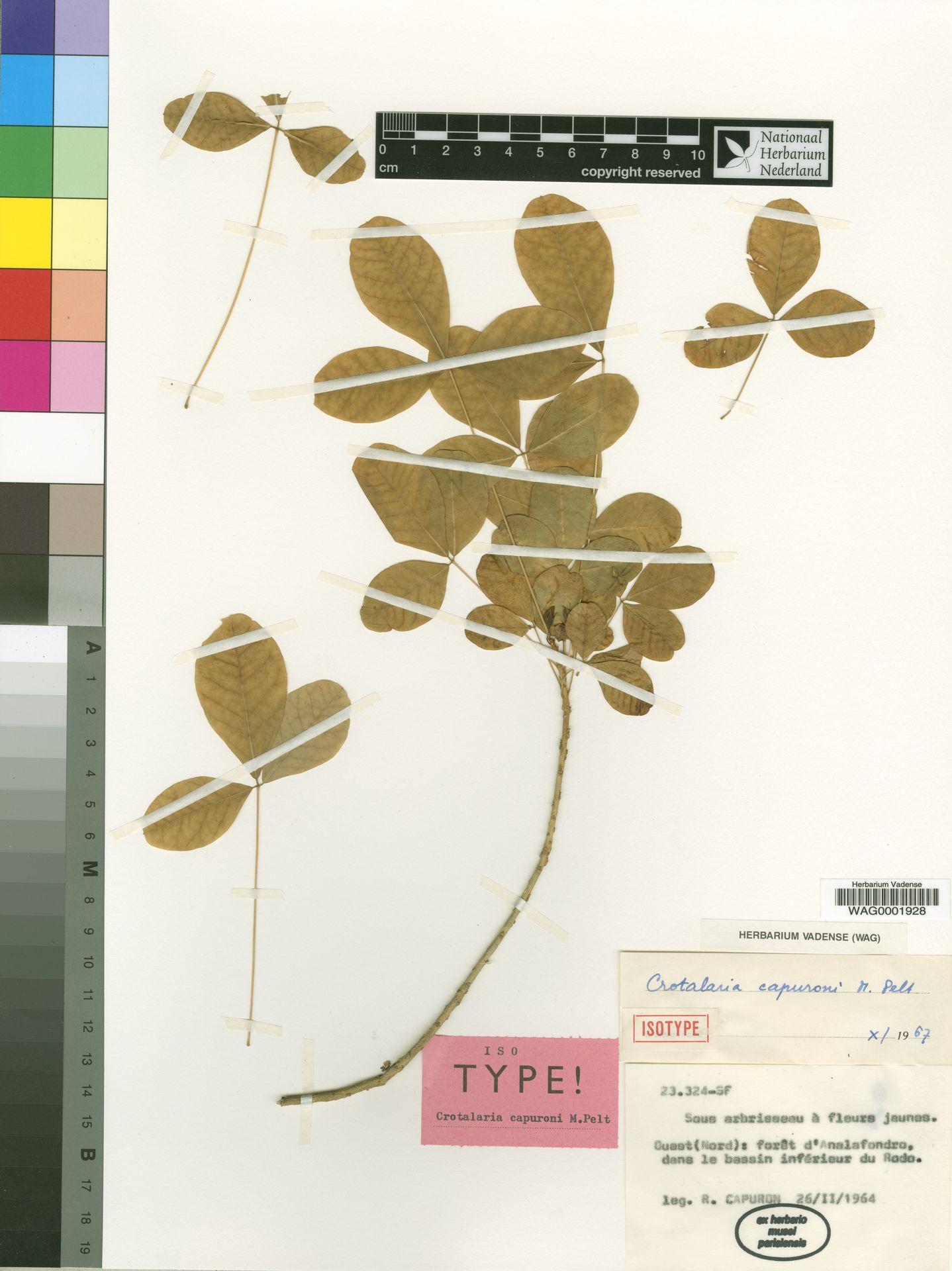 WAG0001928 | Crotalaria capuroni M.Peltier