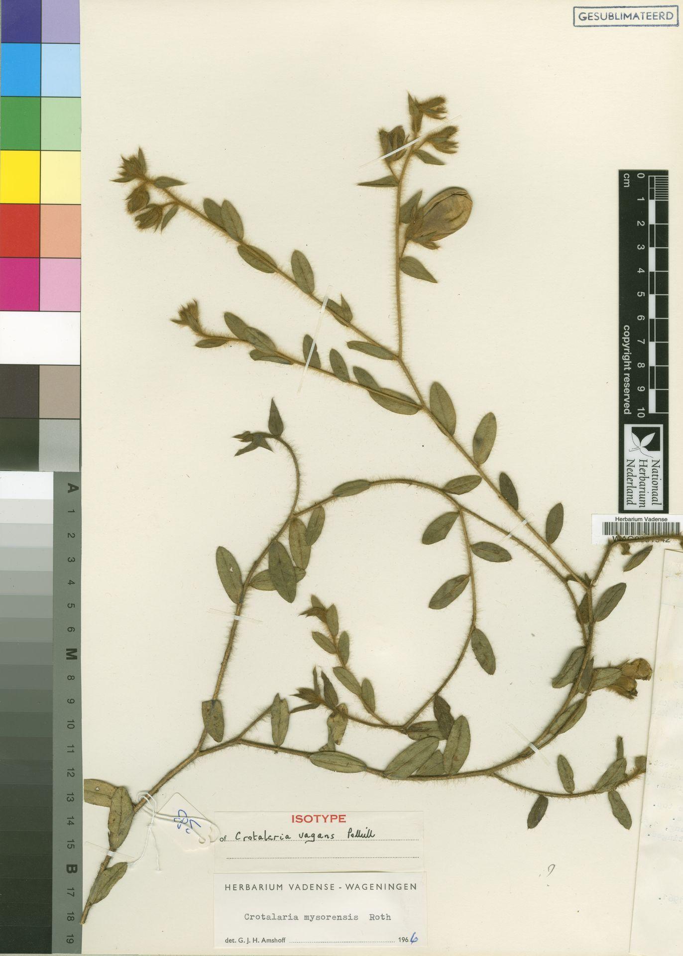 WAG0001942   Crotalaria vagans Polhill