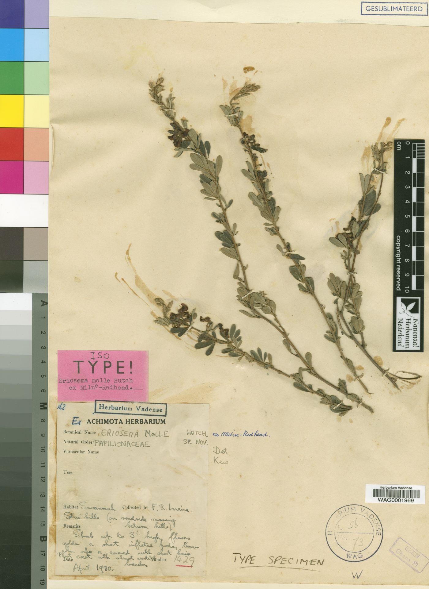 WAG0001969 | Eriosema molle Hutch. ex Milne-Redh.