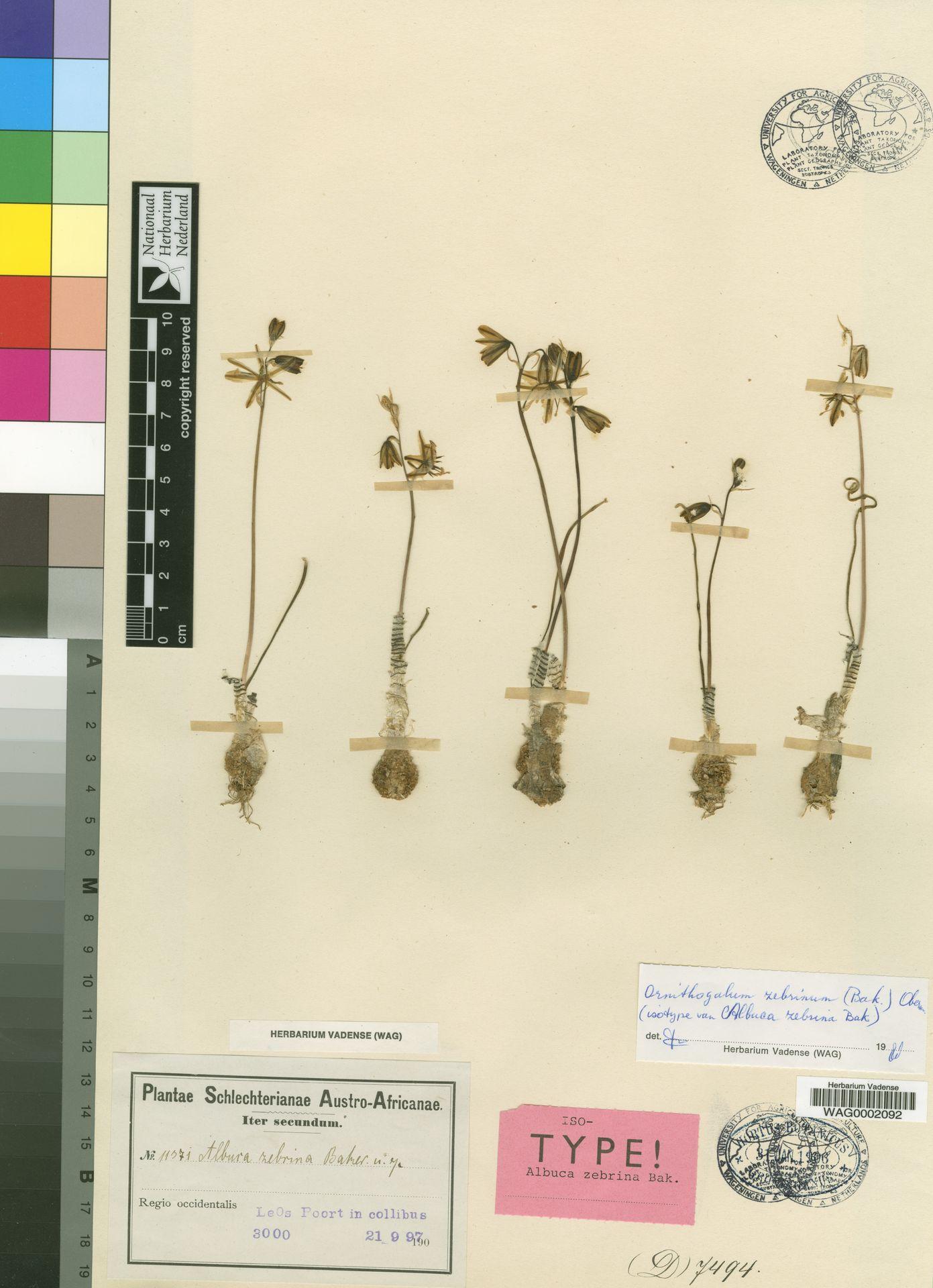 WAG0002092 | Ornithogalum zebrinum (Baker) Oberm.
