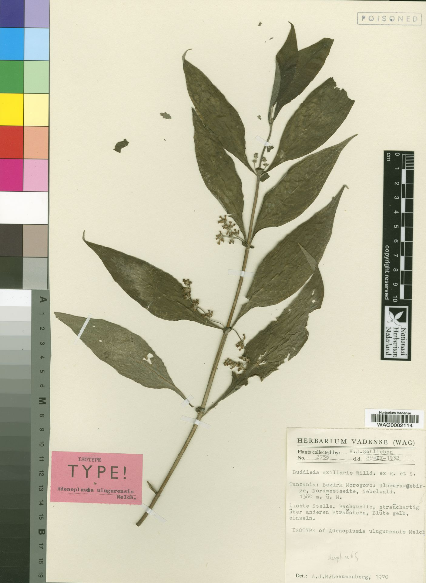 WAG0002114 | Buddleja axillaris Willd. ex Roem. & Schult.
