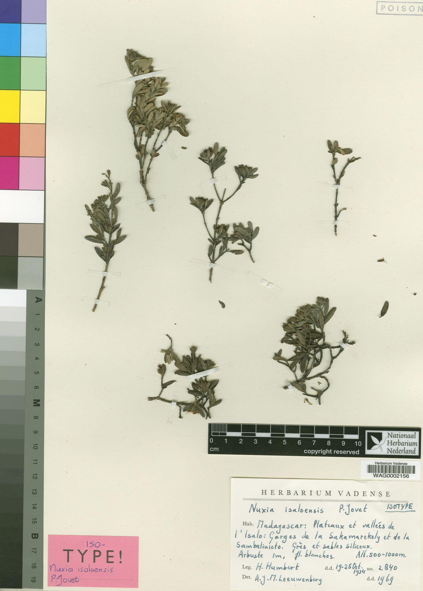 WAG0002156 | Nuxia isaloensis Jovet