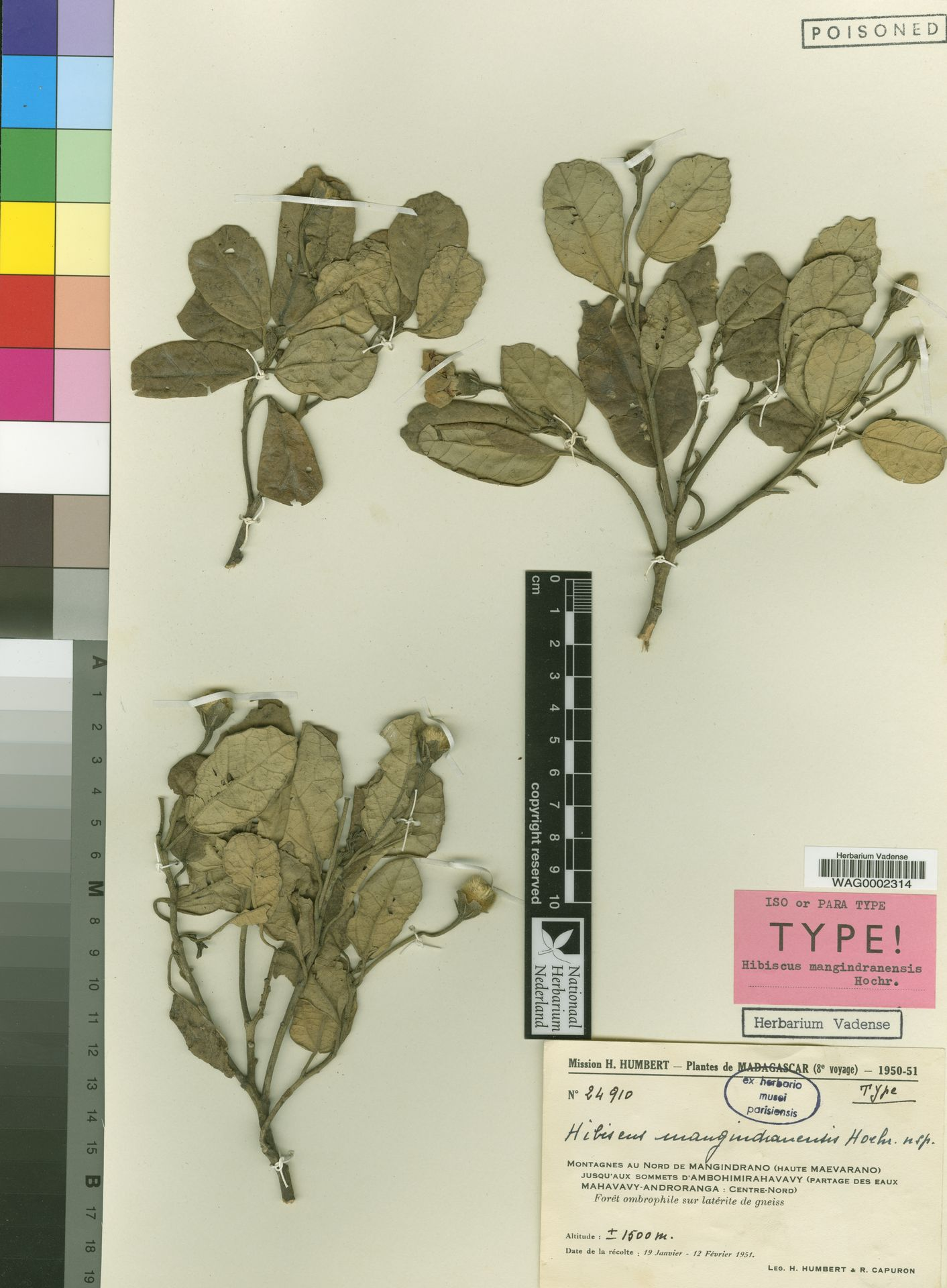 WAG0002314 | Hibiscus mangindranensis Hochr.