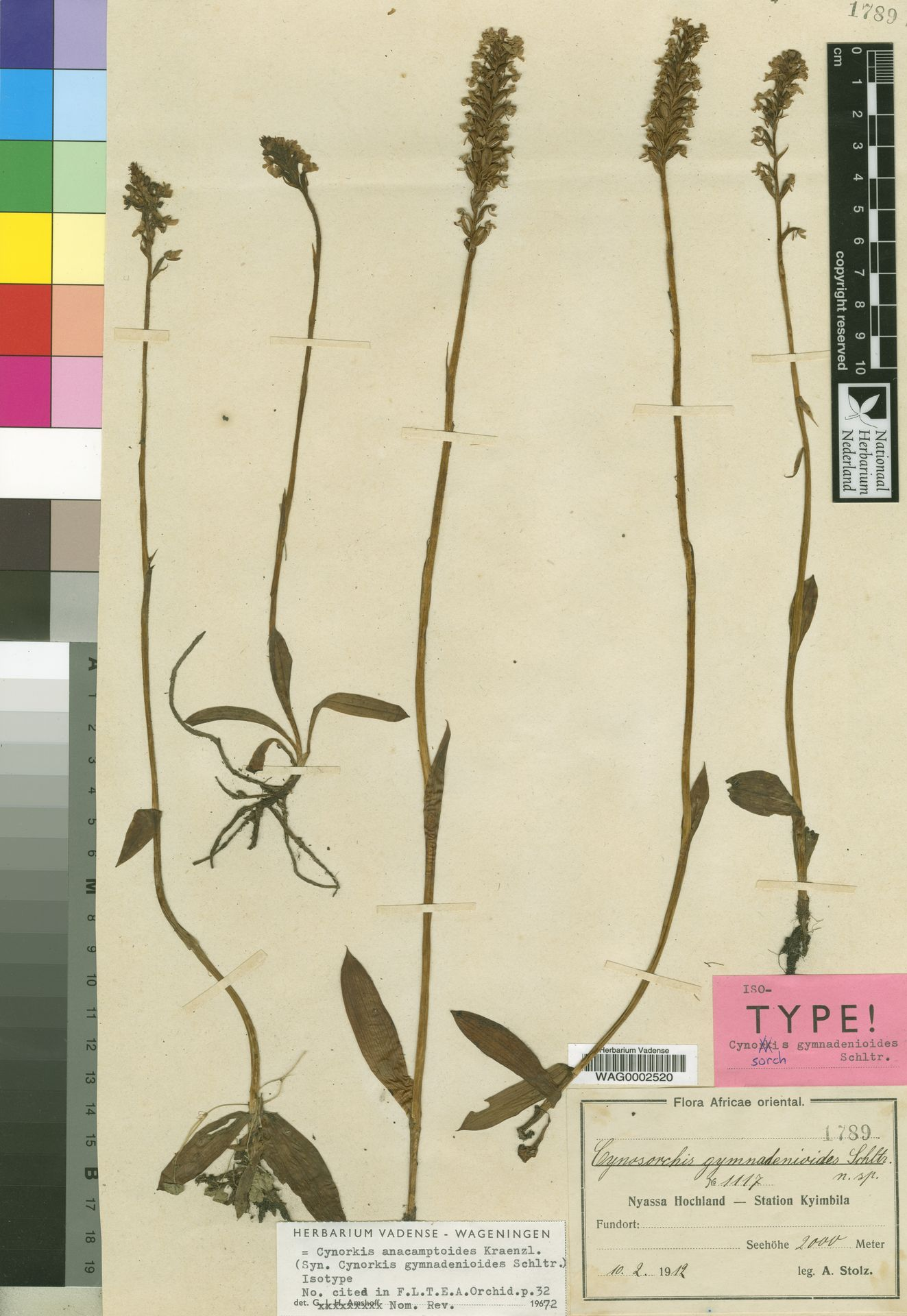 WAG0002520 | Cynorkis anacamptoides Kraenzl.