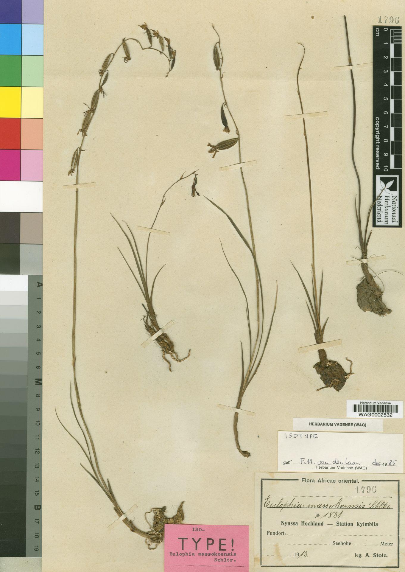 WAG0002532 | Eulophia massokoensis Schltr.