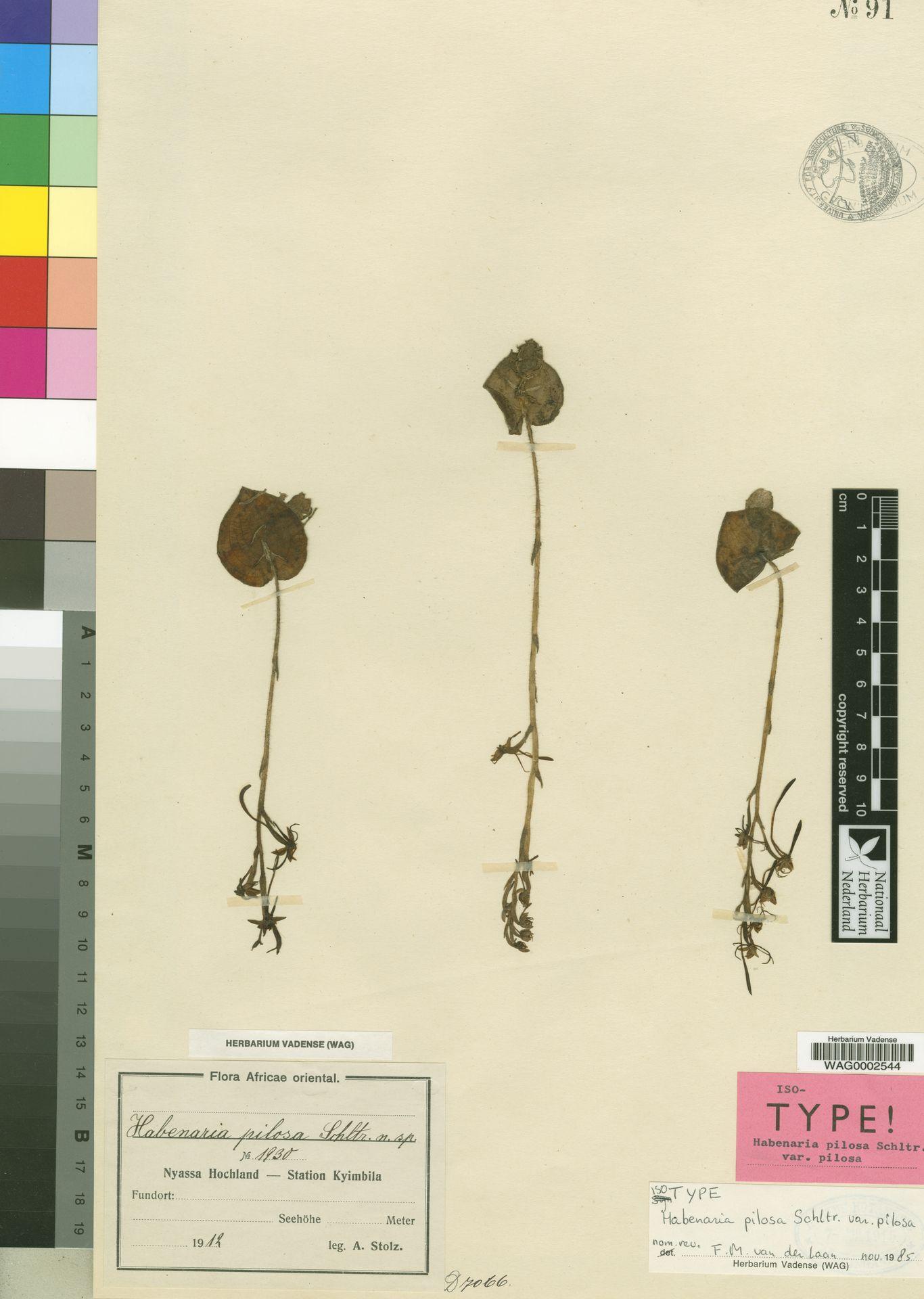 WAG0002544 | Habenaria pilosa var. pilosa